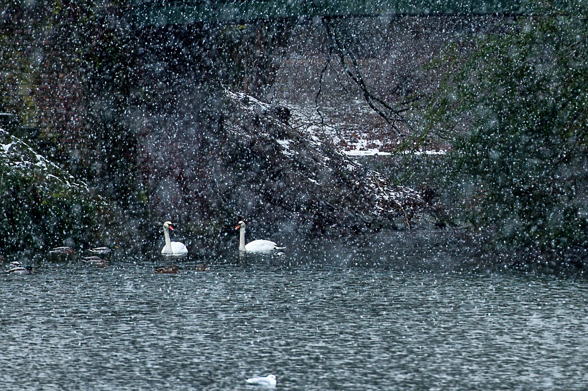 Two swans swim in a pond as snow falls o...Two swans swim in a pond as snow falls on Duesseldorf, western Germany, on February 2, 2015.MAJA HITIJ/AFP/Getty Images