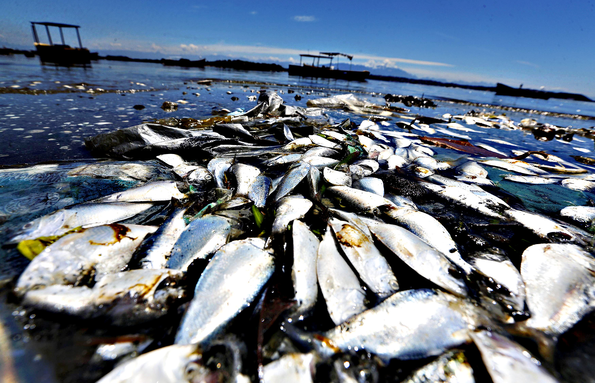 Dead fish are pictured on the banks of the Guanabara Bay in Rio de Janeiro February 24, 2015.  International Olympic Committee members meeting in Rio de Janeiro this week will understand if its waters are not completely clean for the sailing events in 2016, the state's governor said on Monday.