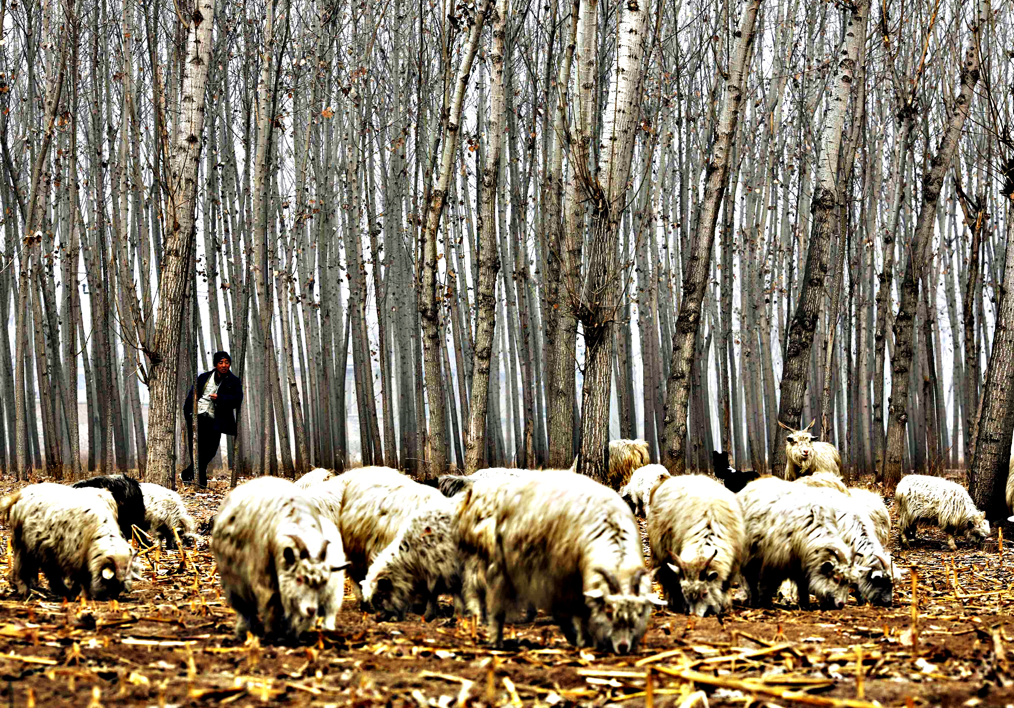 A herdsman takes a rest while he drives his goats at a corn field at Dashiwo village, on the outskirts of Beijing. The Chinese Lunar New Year on February 19 will welcome the Year of the Sheep (also known as the Year of the Goat or Ram