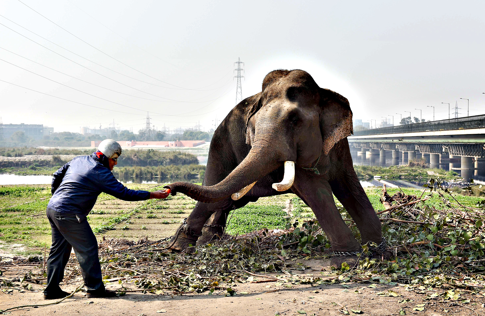 An Indian passer-by feeds an elephant, which is hired for weddings and parties, on the banks of the river Yamuna in New Delhi on February 6, 2015.