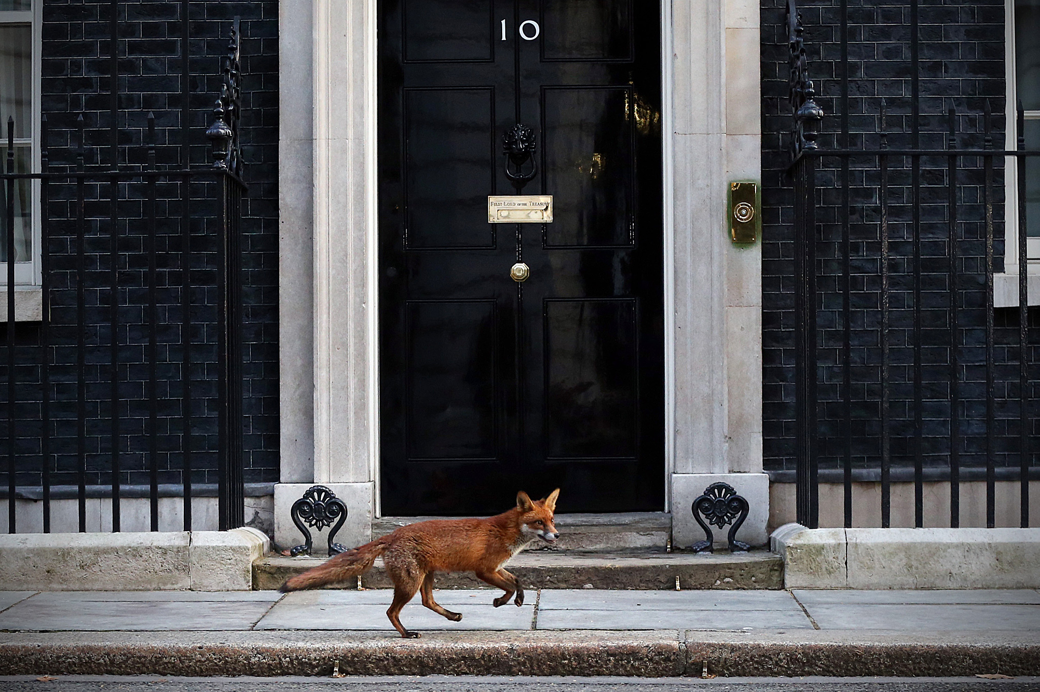 LONDON, ENGLAND - MARCH 30: A fox runs in front of 10 Downing Street on March 30, 2015 in London, England. Campaigning in what is predicted to be Britain's closest national election in decades will start after Queen Elizabeth II dissolves Parliament today. (Photo by Carl Court/Getty Images)