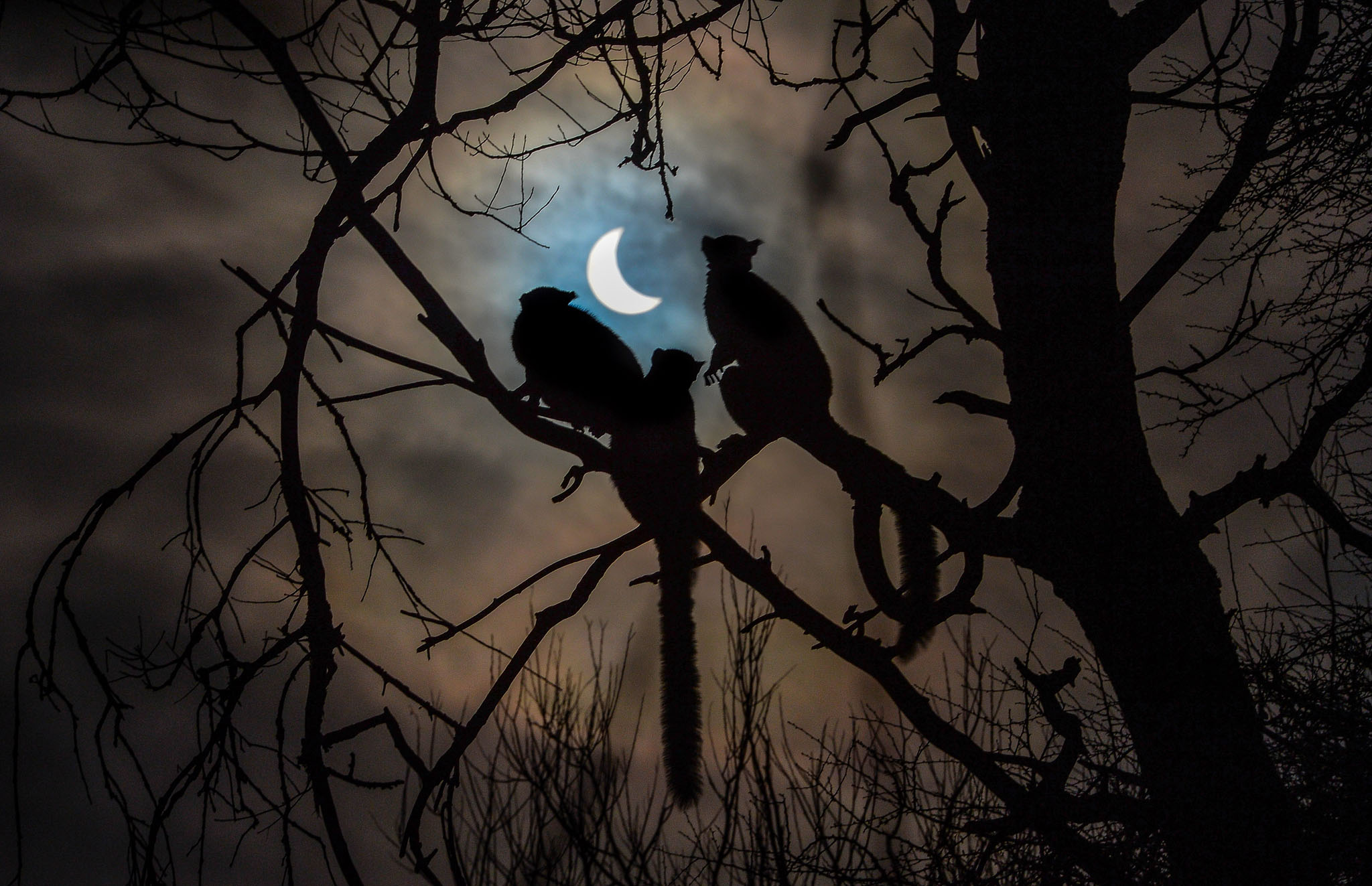 Solar Eclipse...Handout photo dated 20/03/15 issued by Chester Zoo of lemurs looking at the eclipse over Chester Zoo. PRESS ASSOCIATION Photo. Issue date: Friday March 20, 2015. See PA story SCIENCE Eclipse. Photo credit should read: Steve Rawlins/Chester Zoo/PA Wire NOTE TO EDITORS: This handout photo may only be used in for editorial reporting purposes for the contemporaneous illustration of events, things or the people in the image or facts mentioned in the caption. Reuse of the picture may require further permission from the copyright holder.