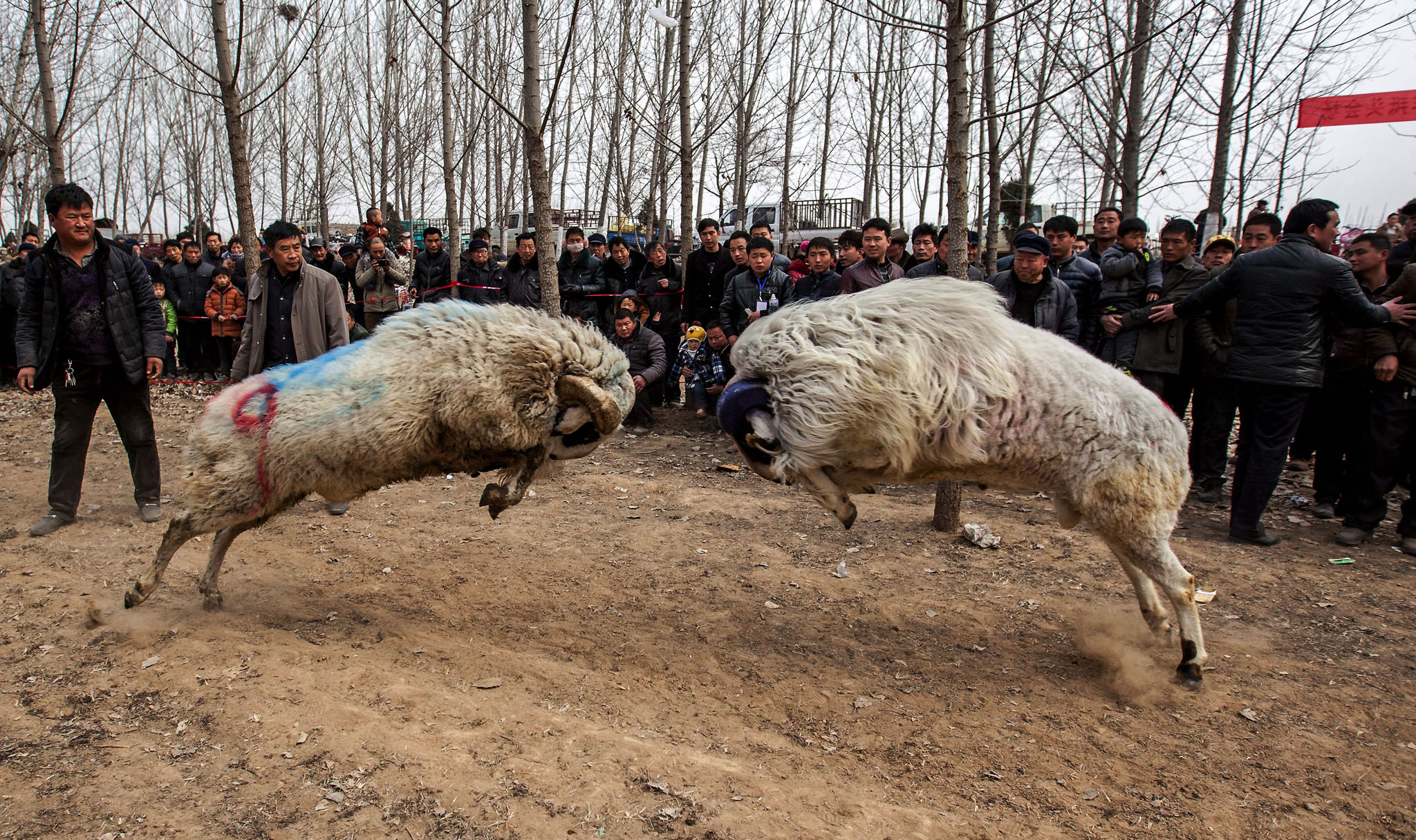People watch a fight between male small-tail han sheep in Hanhejing village in Huaxian county in central China's Henan province.