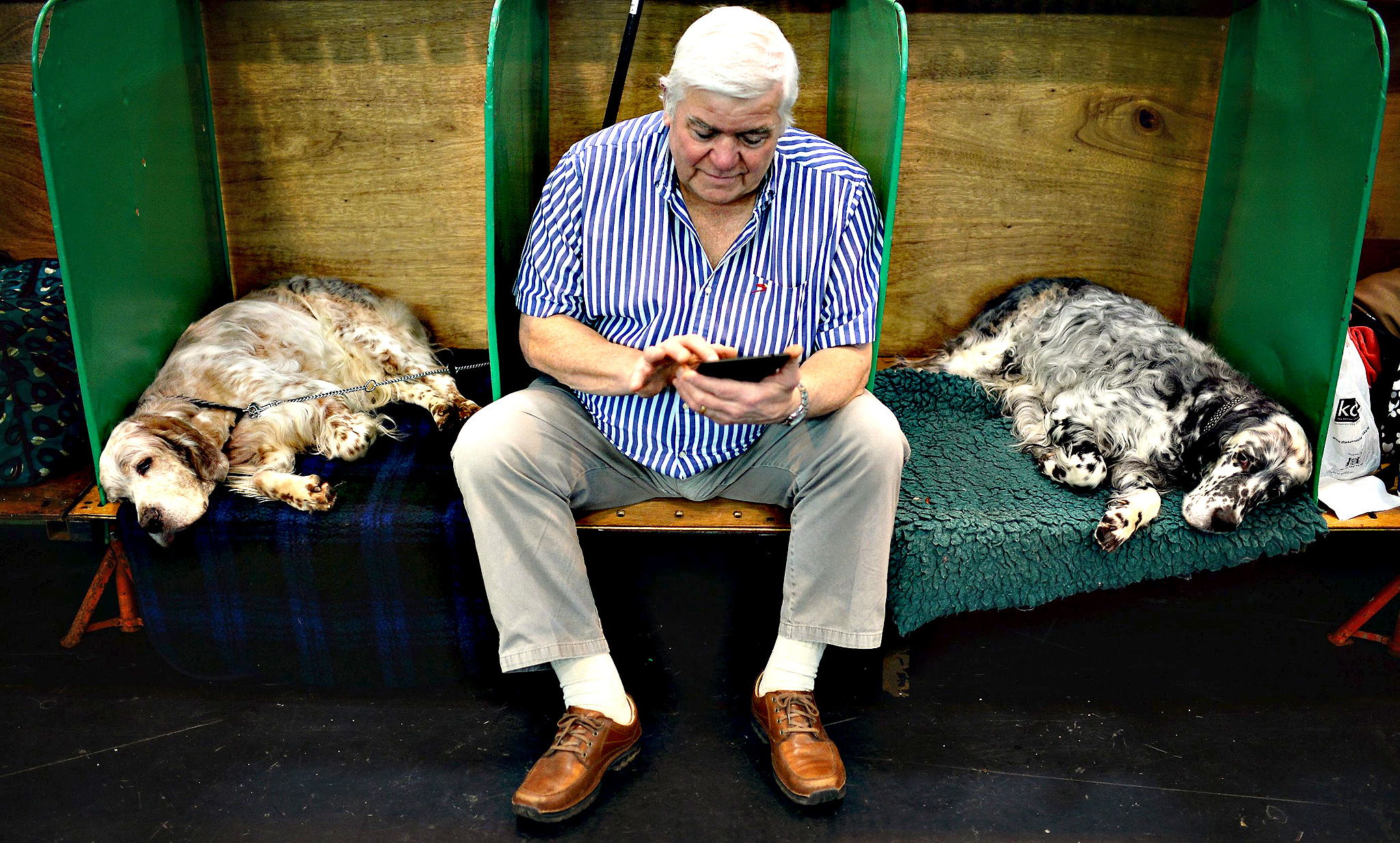 A man with his English Setters at the annual Crufts Dog Show at the NEC Arena in Birmingham, Britain, 05 March 2015. The world's largest dog show will be held from 05 to 08 March. The main competition is for the Best in Show award, the most coveted title sought by dog owners.