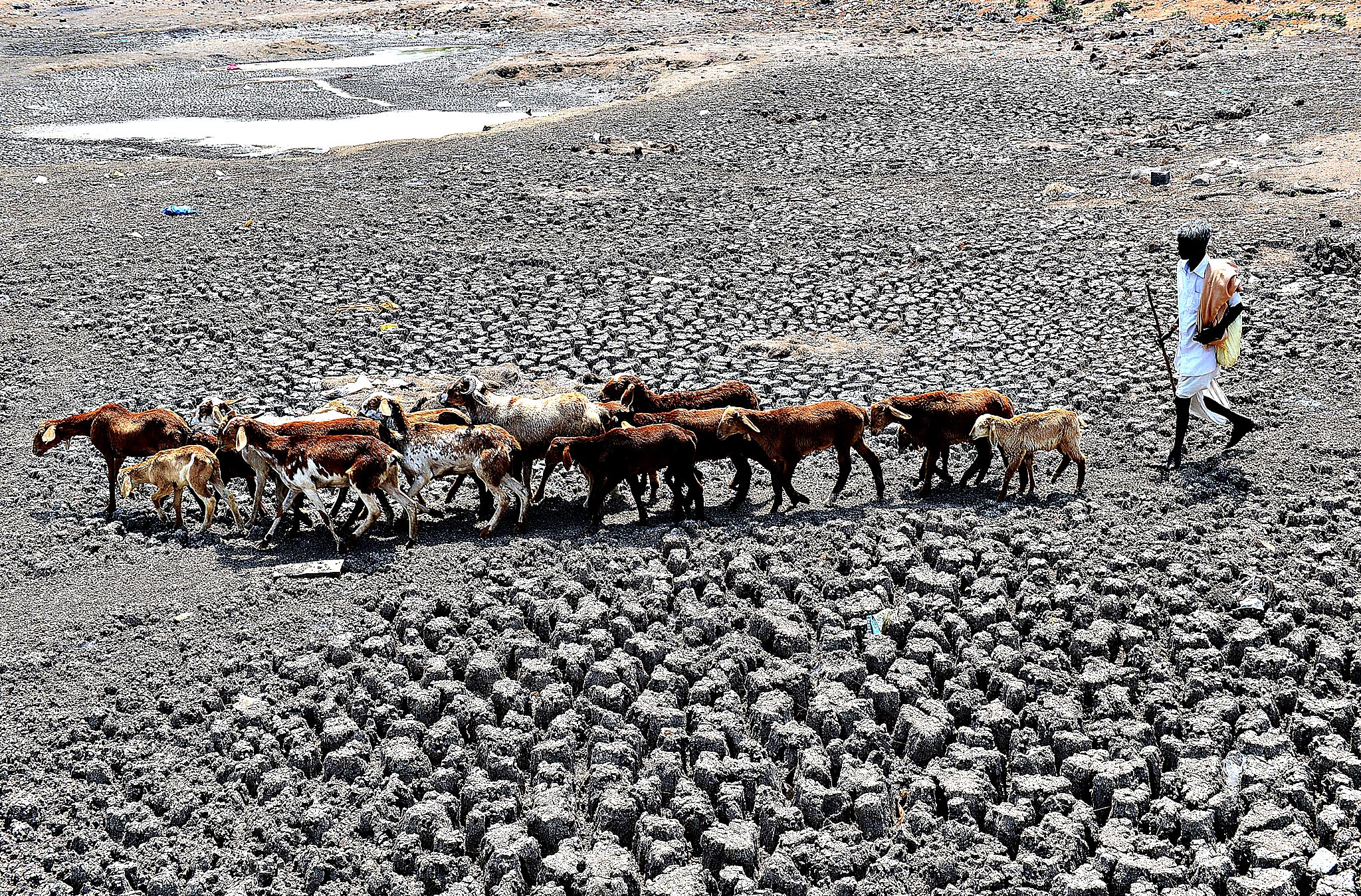 An Indian farmer herds his sheep on the dry bed of a river at Bibi Nagar in Nalgonda District, some 40 kilometers from Hyderabad on March 23, 2015.