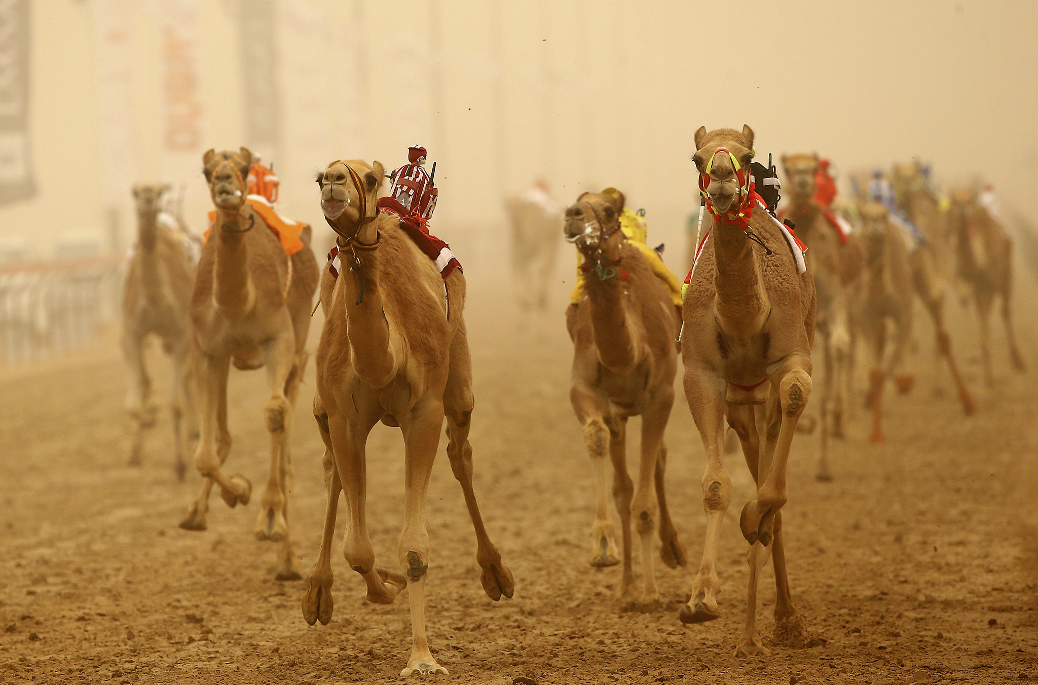Al Marmoon Heritage Festival Camel Racing...DUBAI, UNITED ARAB EMIRATES - APRIL 02: Camels race during Al Marmoom Heritage Festival at the Al Marmoom Camel Racetrack on April 2, 2015 in Dubai, United Arab Emirates. The festival promotes the traditional sport of camel racing within the region.  (Photo by Francois Nel/Getty Images)