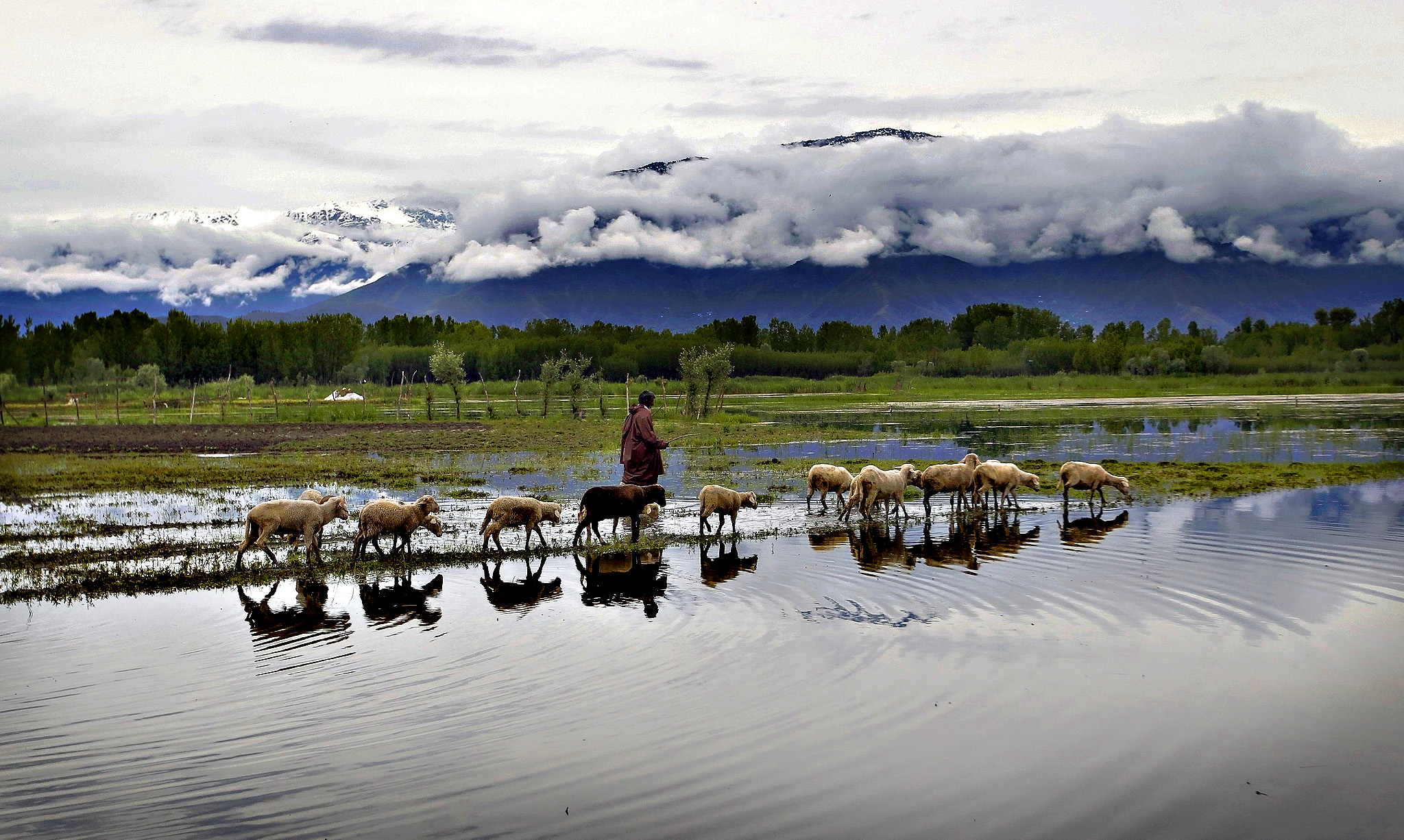 A man walks his sheep in a water-logged paddy field after recent rains in Srinagar on Thursday