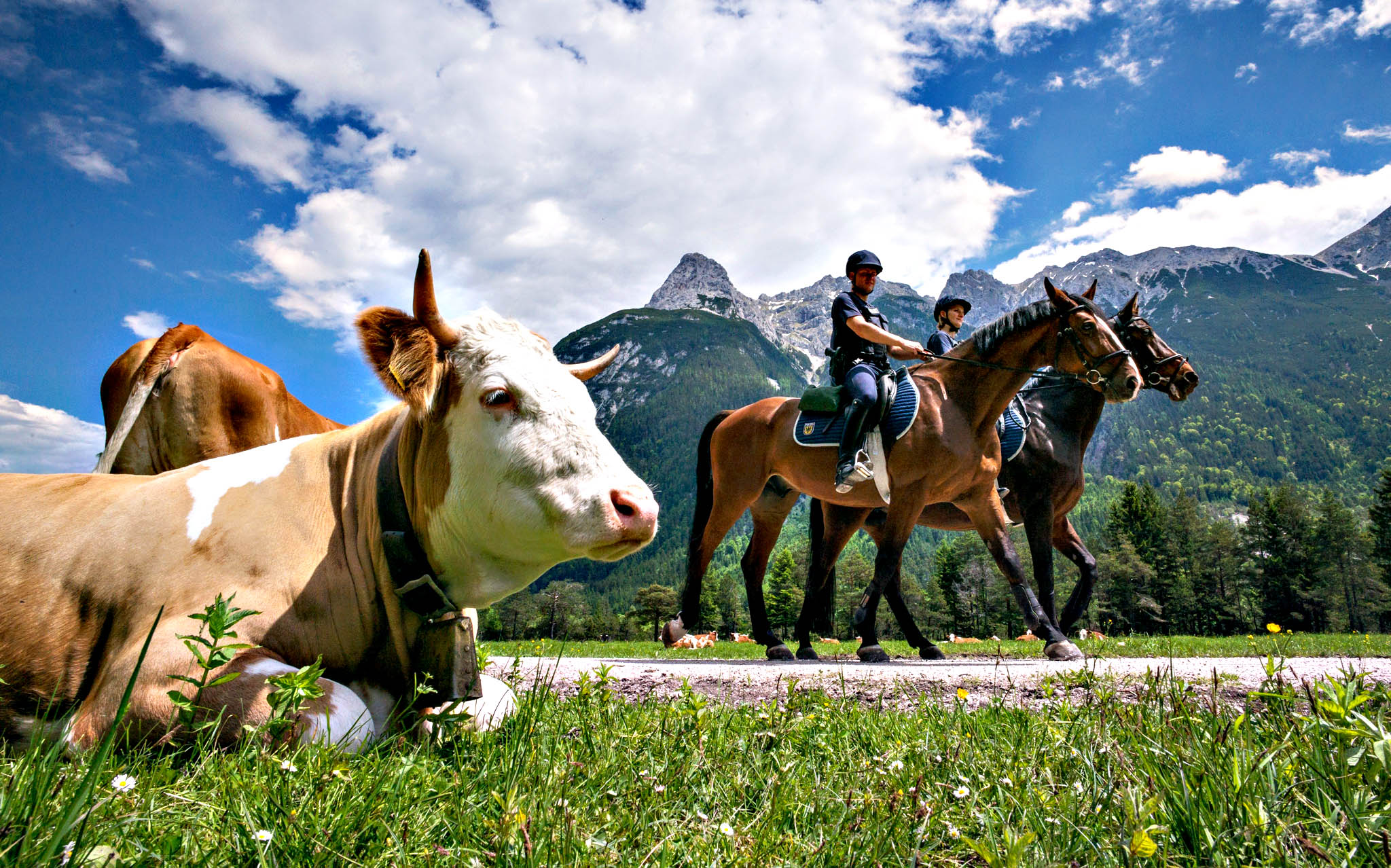 Two police officers with the Federal Police Riding Squad ride past a cow in the German-Austian border region near Mittenwald, Germany, 03 June 2015. Government leaders from the G7 countries are meeting for their summit meeting from 07 to 08 June 2015 in Schloss Elmau.
