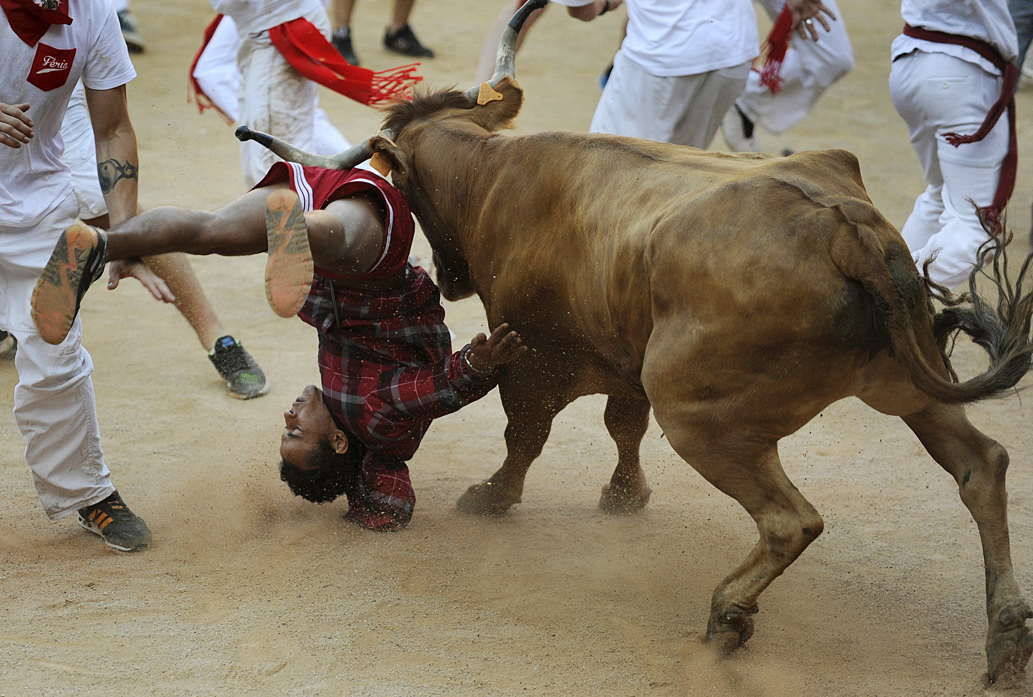 A wild cow tosses a reveller at the bullring following the seventh running of the bulls of the San Fermin festival in Pamplona...A wild cow tosses a reveller at the bullring following the seventh running of the bulls of the San Fermin festival in Pamplona, northern Spain, July 13, 2015. Two runners were gored in the run that lasted 2 minutes and 12 seconds, according to local media. REUTERS/Eloy Alonso