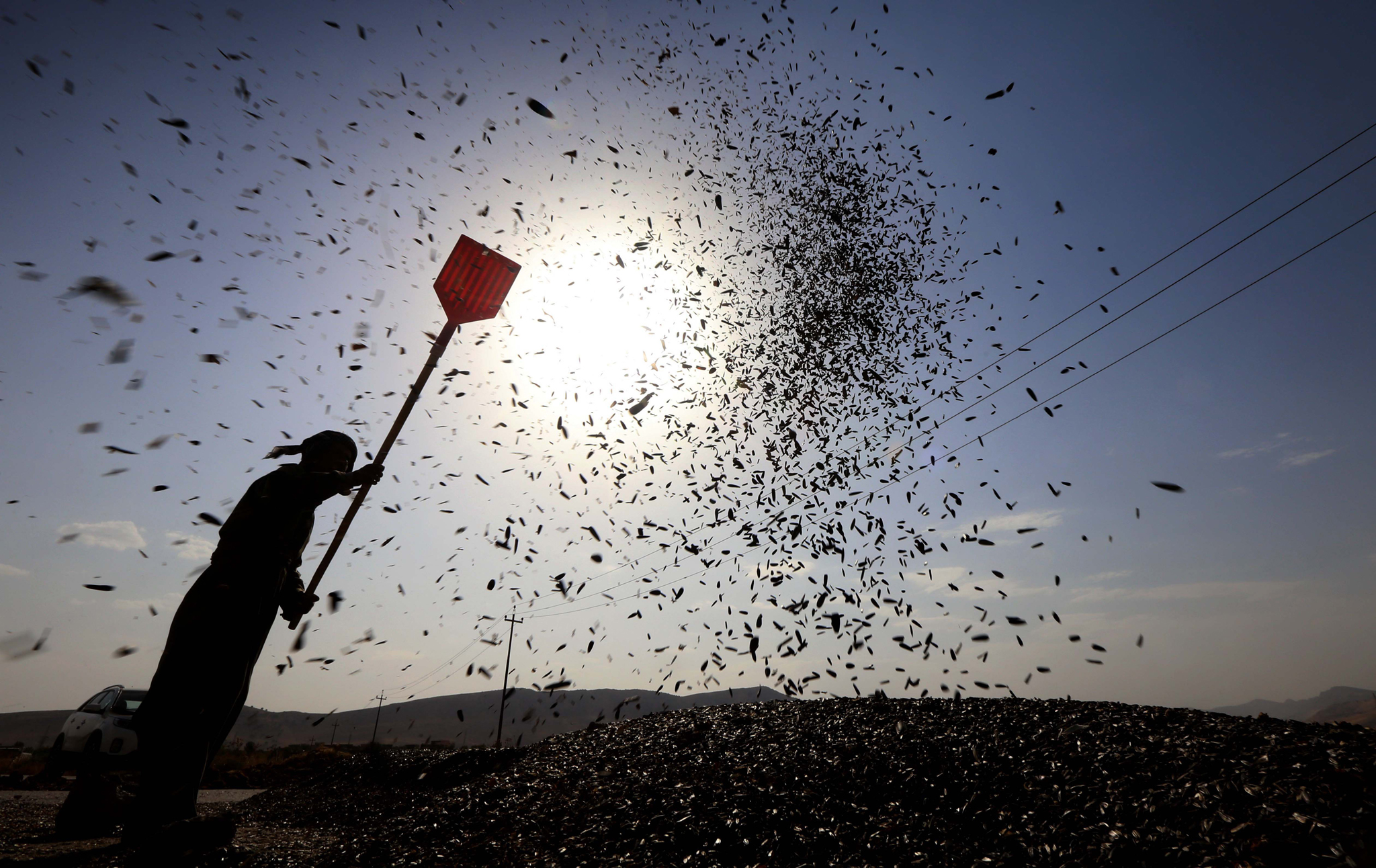 A Kurdish man harvests sunflowers in the district of Rania, 145km east of northern Iraq's Kurdish city of Sulaimaniyah