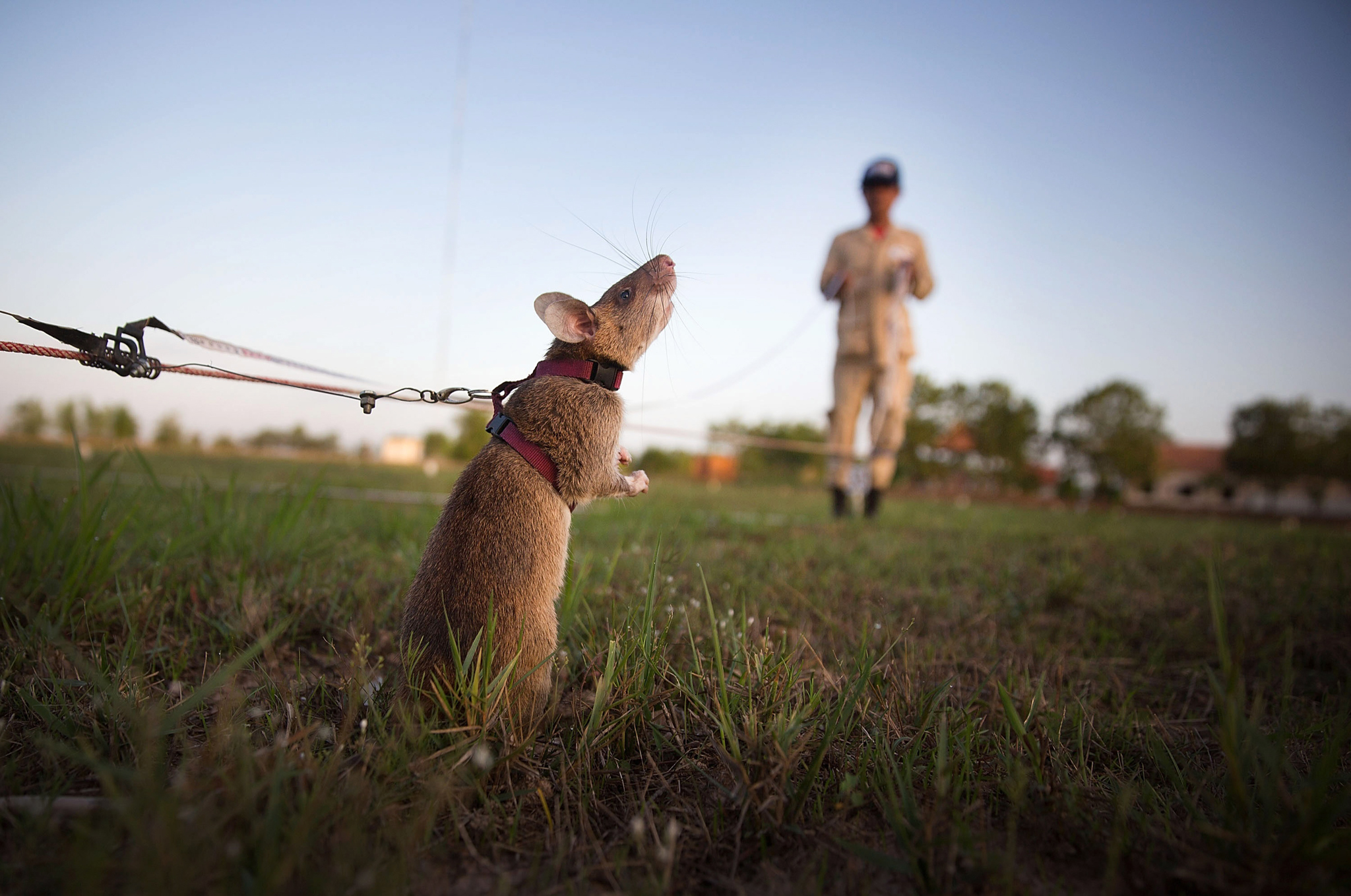 Cambodia's Demining Authority Train Giant Rats To Detect Landmines...SIEM REAP, CAMBODIA - JULY 02:  A rat searches for land mines and unexploded ordnance during a training session on July 2, 2015 in Siem Reap, Cambodia. The Cambodian Mine Action Center (CMAC) working with the Belgian NGO APOPO has recently begun testing the feasability of using large mine detection rats from Tanzania to help clear fields of mines and unexploded ordnance in one of the most bombed and mined countries in the world.  (Photo by Taylor Weidman/Getty Images)