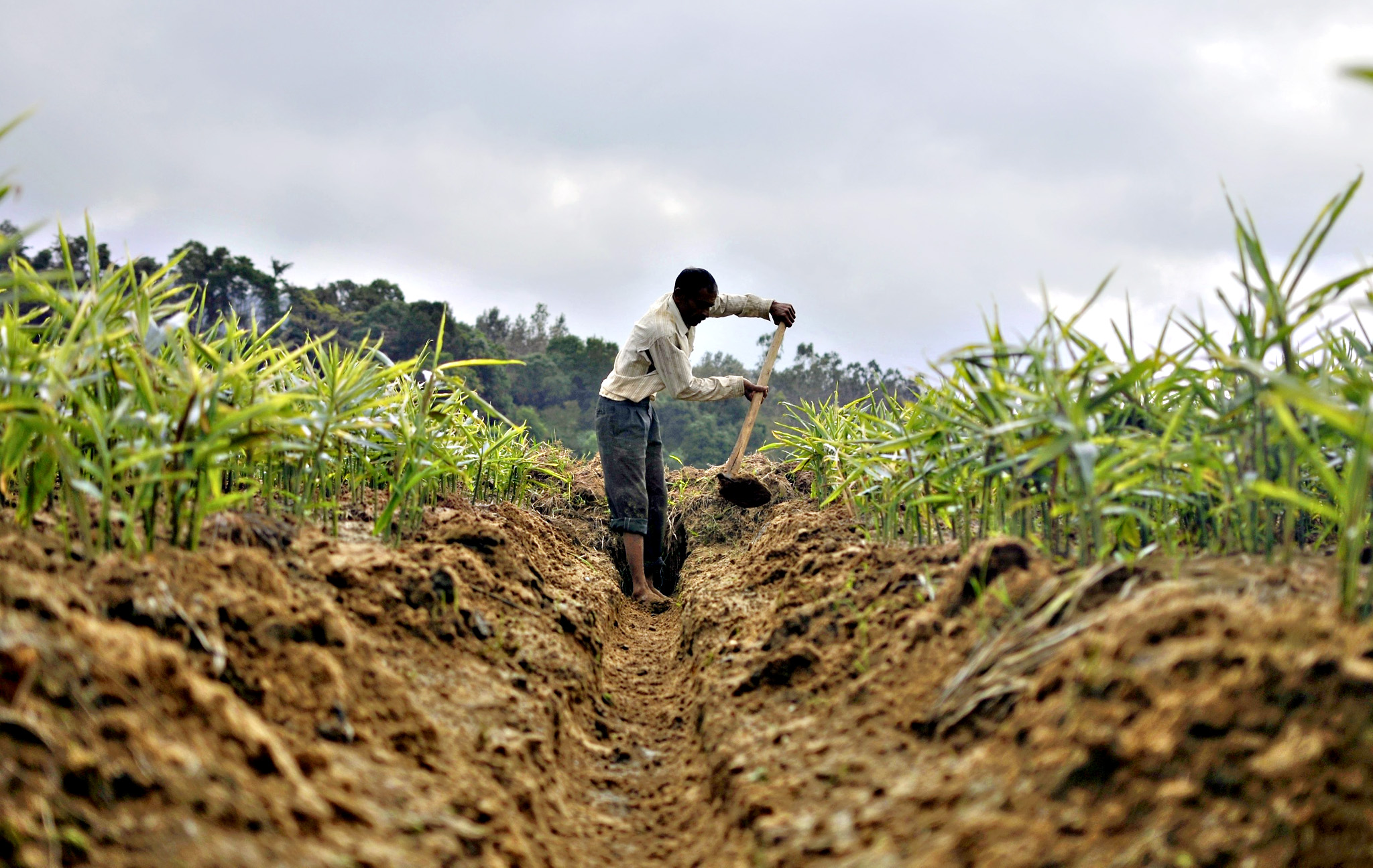 A farmer cultivating ginger uses a hoe to dig a ditch in his field in Nagarally village in the southern state of Karnataka, India on Tuesday