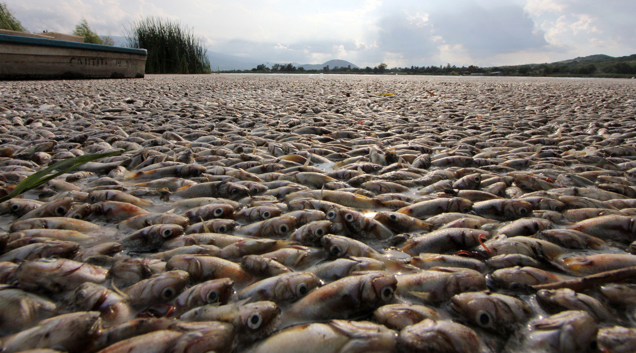 "Dead fresh water fish, known as ""popocha"", float in the Cajititlan lagoon in Jalisco State, Mexico. At least 25 tons of fish have turned up dead in the lagoon in western Mexico and authorities are investigating whether a wastewater treatment plant is to blame."