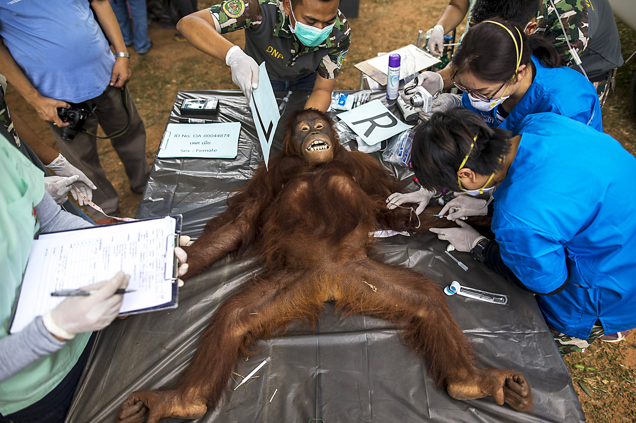 Thai veterinarians and wildlife officers collect blood sample during a health examination at Kao Pratubchang Conservation Centre in Ratchaburi...Thai veterinarians and wildlife officers collect blood sample during a health examination at Kao Pratubchang Conservation Centre in Ratchaburi, Thailand, August 27, 2015. Thai veterinarians from the Department of National Park Wildlife, and Plant Conservation conducted a health check of 14 orangutans for preparation for the repatriation to their country of origin, Indonesia. Most of Sumatran and Borneo Kalimantan orangutans, were confiscated from entertainment businesses in Phuket province since 2008. Authorities said the orangutans are being examined to ensure they are free from diseases such as Rabies, Foot and Mouth disease, Tuberculosis, Hepatitis and Herpes. Thai officials said the orangutans are expected to return to Indonesia in September. REUTERS/Athit Perawongmetha
