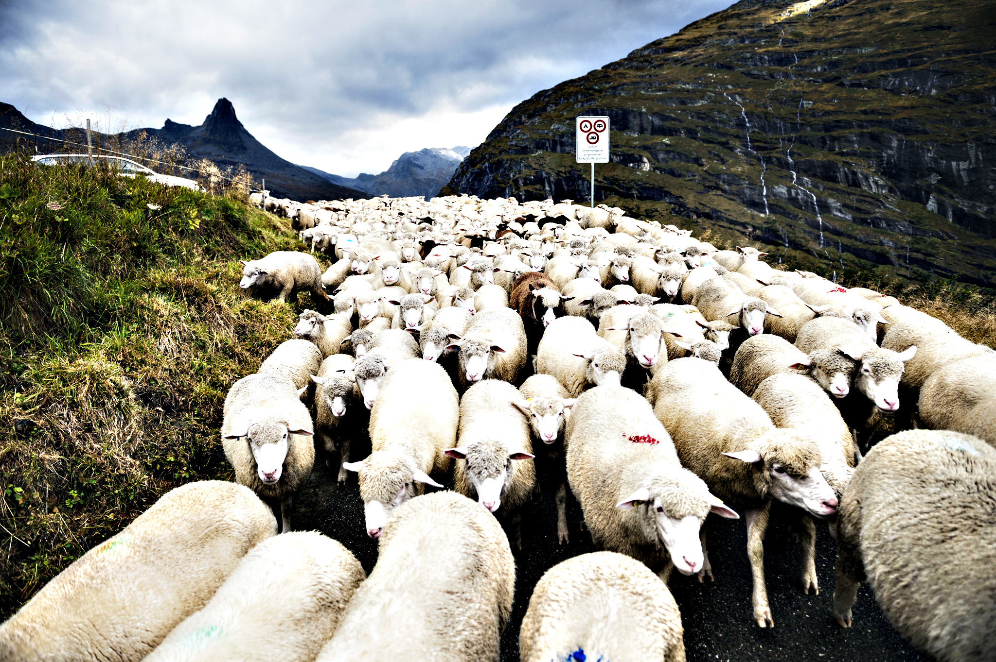 650 sheep are driven down to the valley after a summer on the alp, with the Zervreilahorn peak (2898 meters above sea level) in the background, on Thursday, Sept. 17, 2015, in Vals, canton of Grisons, eastern Switzerland.