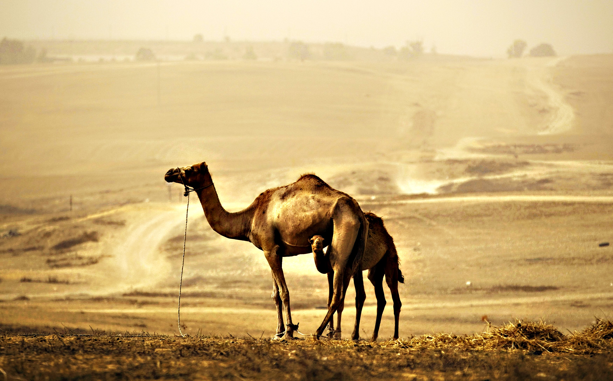 A camel and her calf stand in field during sandstorm near Rahat, southern Israel...A camel and her calf stand in a field during a sandstorm near Rahat, southern Israel September 10, 2015. A heavy sandstorm, which swept across parts of the Middle East on Tuesday, could still be felt in Israel on Thursday