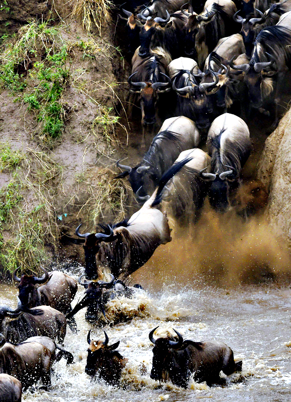 Herds of wildebeest cross the river in Masai Mara on Friday. Every year hundreds of thousands of wildebeest make the crossing from the Serengeti to Masai Mara game reserve to graze during the migration