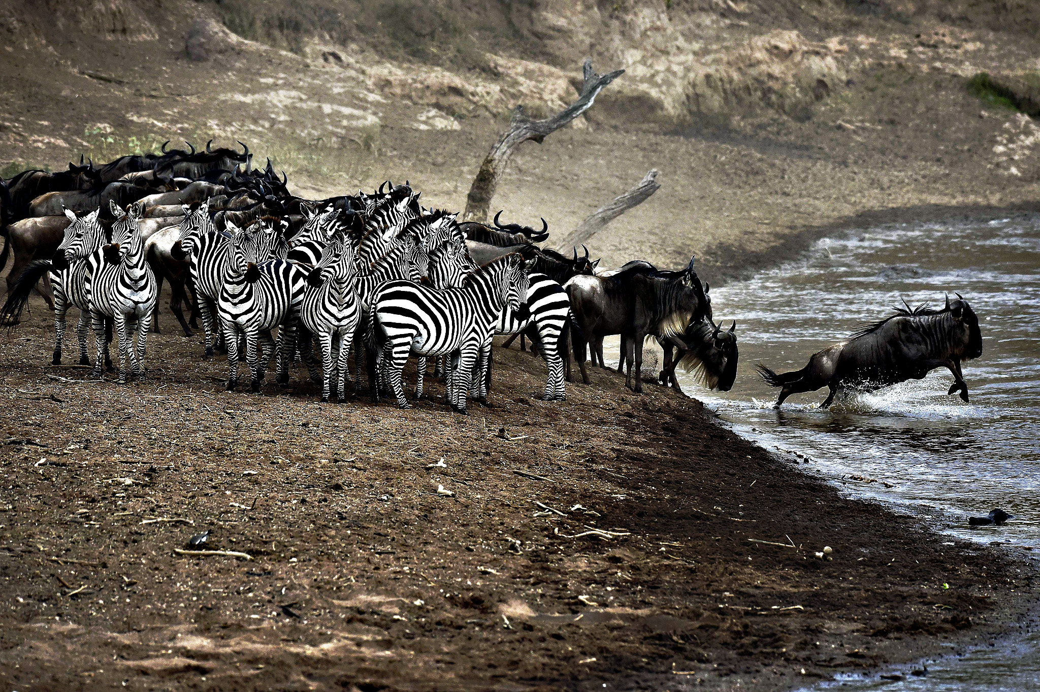 Wildebeests and zebras at a river in Masai Mara on Wednesday. Every year, hundreds of thousands wildebeests migrate from the Serengeti to Masai Mara game reserve to graze