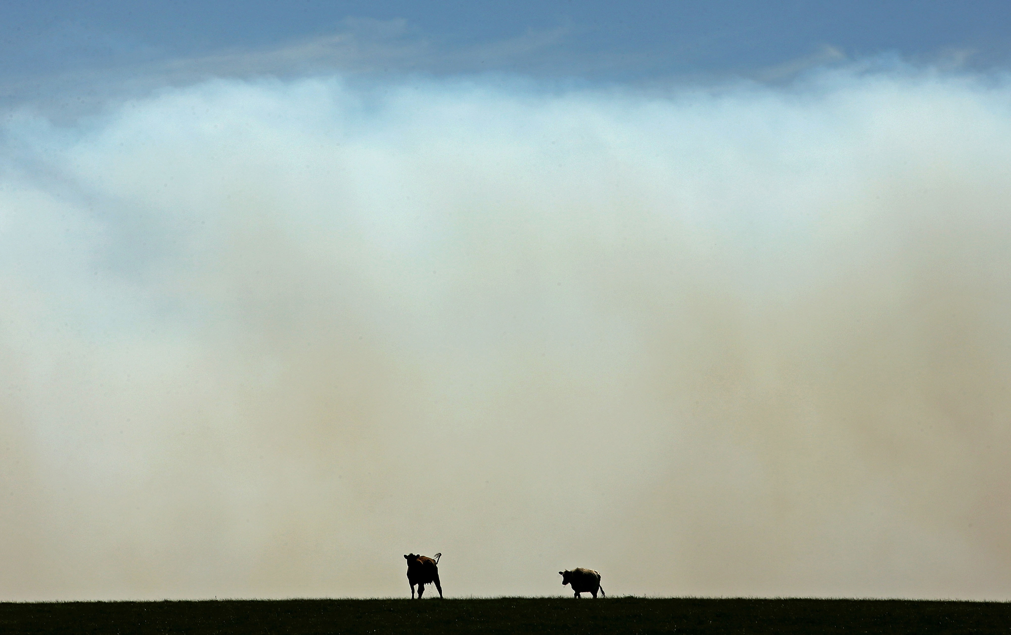 wo cows stand in a field as smoke from a bushfire billows past Benloch, Victoria on October 7, 2015 near Melbourne, Australia. Victorian fire crews have been battling to contain a blaze that started in Cobaw. Despite a cool change on Tuesday, over a hundred homes are still under threat and one man has been reported missing.