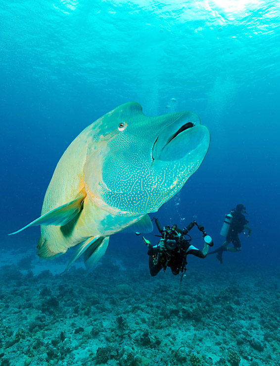 "An undated handout photo received on Oct...An undated handout photo received on October 28, 2015, shows a Napoleon Wrasse fish on the tiny Pacific island nation of Palau, who on October 28, created one of the world's largest marine sanctuaries, saying it wanted to restore the ocean for future generations.  At 500,000 square kilometres (193,000 square miles), the sanctuary is the same size as Spain and covers an underwater wonderland containing 1,300 species of fish and 700 types of coral.  AFP PHOTO / THE PEW CHARITABLE TRUSTS / Richard BROOKS  ----EDITORS NOTE ----  RESTRICTED TO EDITORIAL USE MANDATORY CREDIT "" AFP PHOTO / THE PEW CHARITABLE TRUSTS / RICHARD BROOKS"" NO MARKETING NO ADVERTISING CAMPAIGNS - DISTRIBUTED AS A SERVICE TO CLIENTSRICHARD BROOKS/AFP/Getty Images"