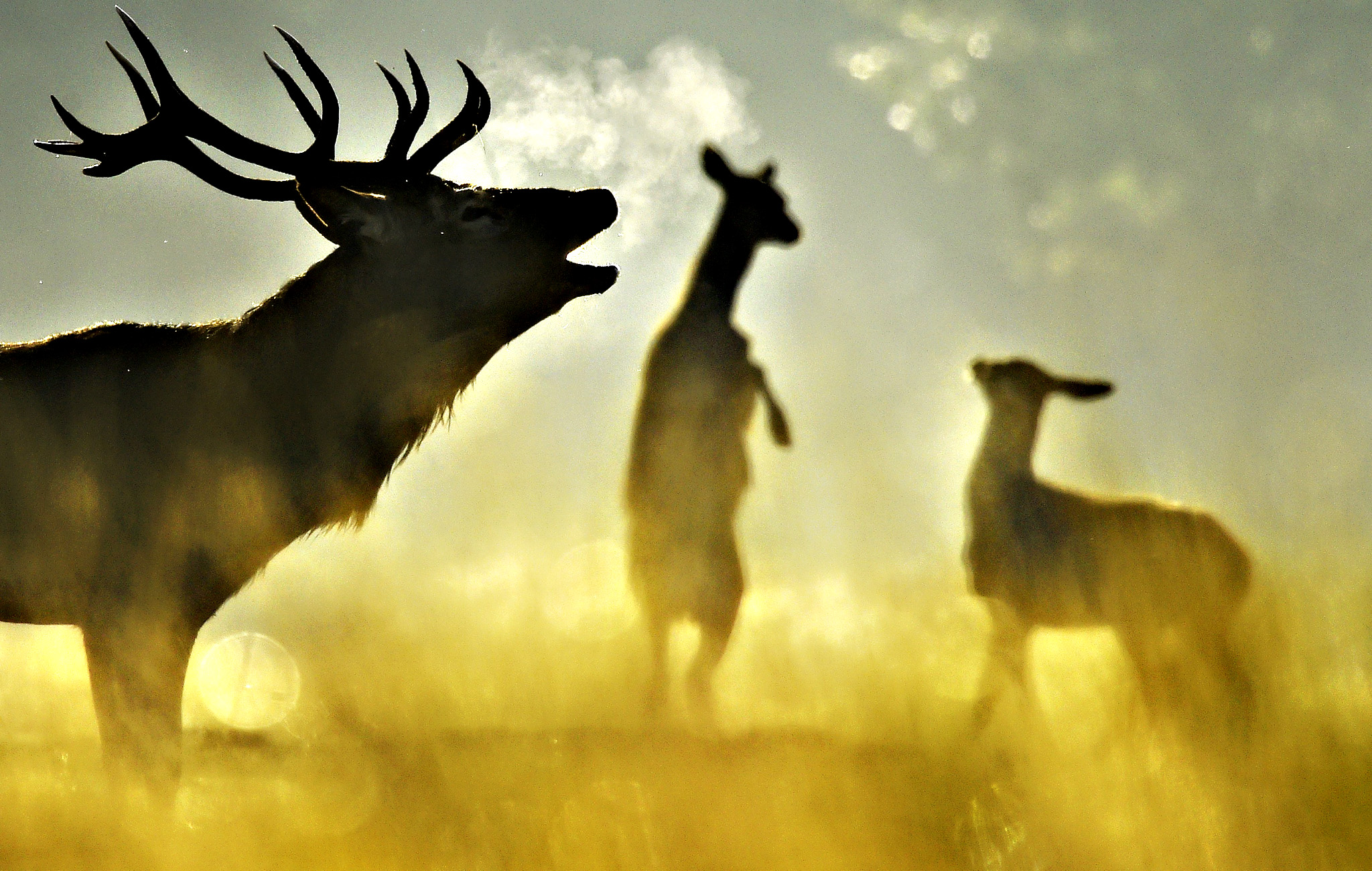 A Red deer stag barks, with females seen behind, in the morning sun in Richmond Park in west London, Britain, October 2, 2015. The Royal Park has had Red and Fallow deer present since 1529, and early autumn sees the rutting or breeding season begin amongst the herd of over six hundred animals.