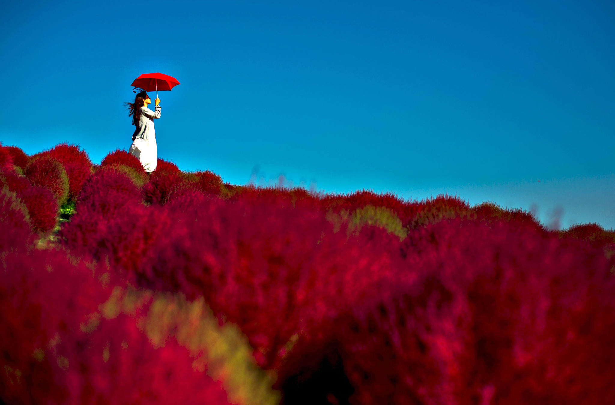 A woman holds a parasol as she stands in a field of fireweed, or Kochia scoparia, on a sunny autumn day at the Hitachi Seaside Park in Hitachi, north of Tokyo, on Monday. Fireweed is a grass bush that takes on a bright red colour in autumn