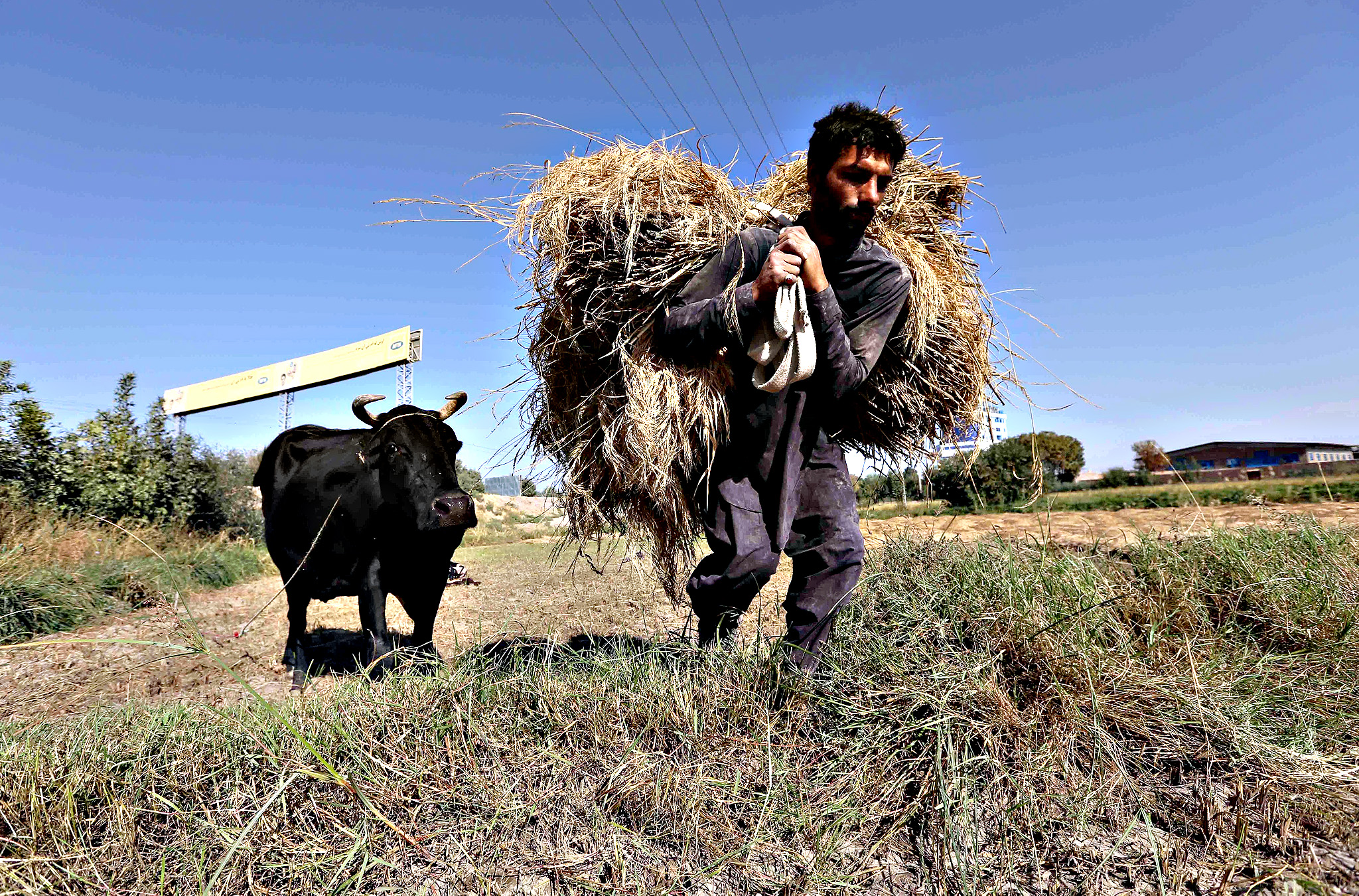 Afghan farmer harvests rice on the outskirts of Herat, Afghanistan, 13 October 2015. The Afghan government is encouraging farmers to grow wheat, rice and vegetables instead of opium.