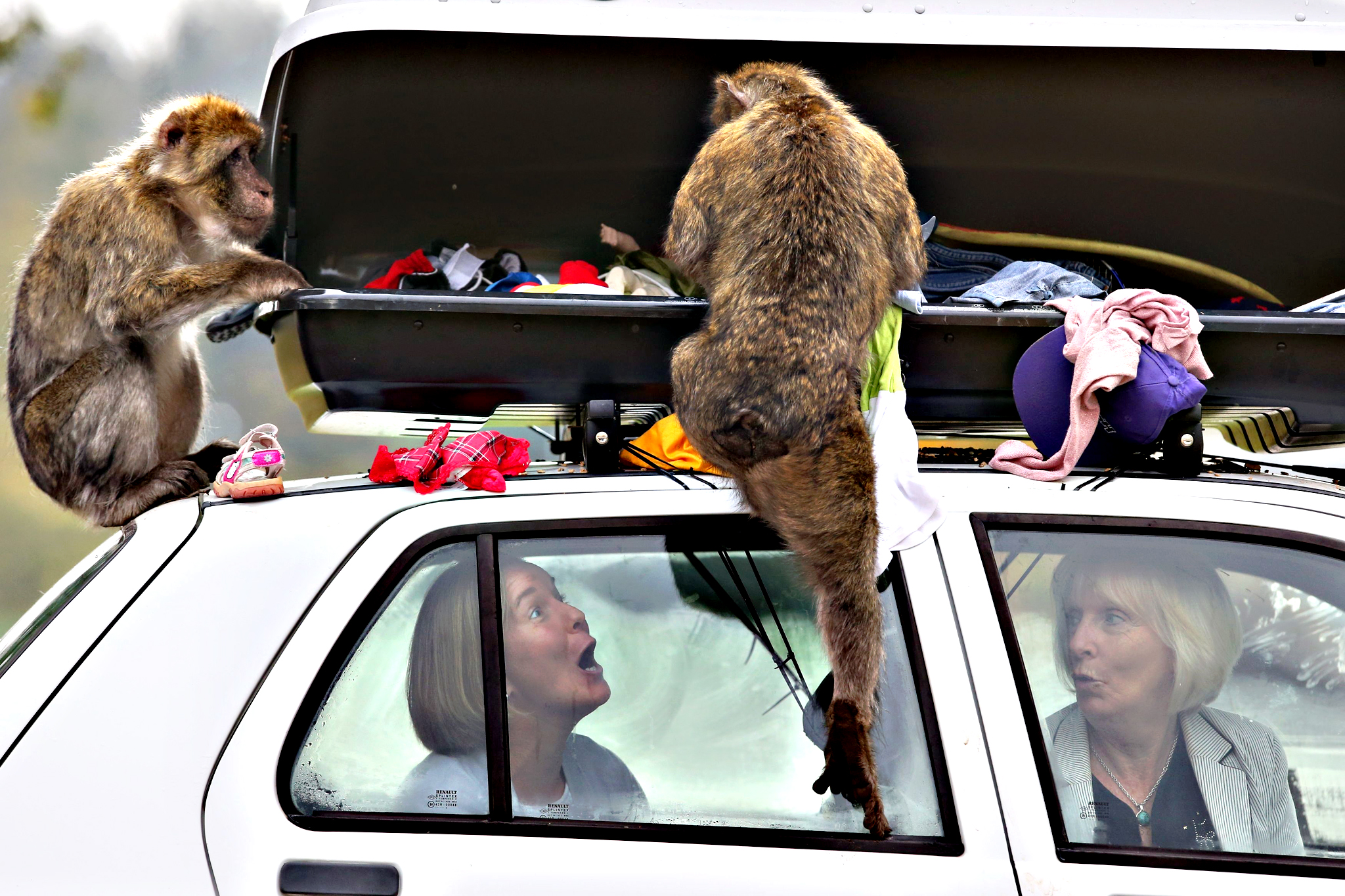 Sasha Muir and Margaret Davidson sit in a car as some of the thirty Barbary macaques known as The  Middle Hill Troop  after living  between the top of Gibraltar rock and the town, show what happens when car drivers forget to lock their luggage compartment, as Scotland's only monkey drive through section opens at Blair Drummond Safari Park