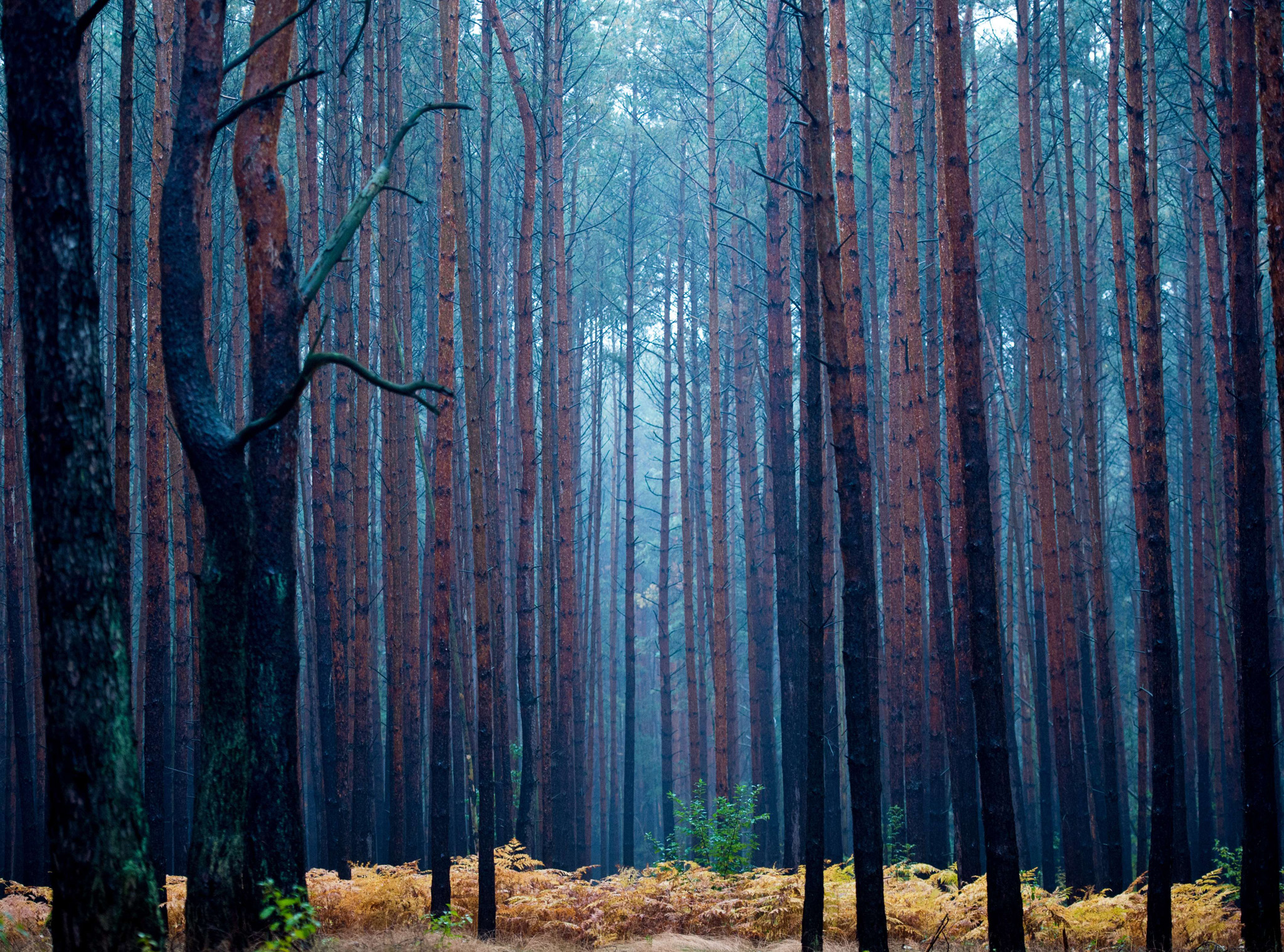 Pale light hangs in a pine forest during a rainy autumn morning