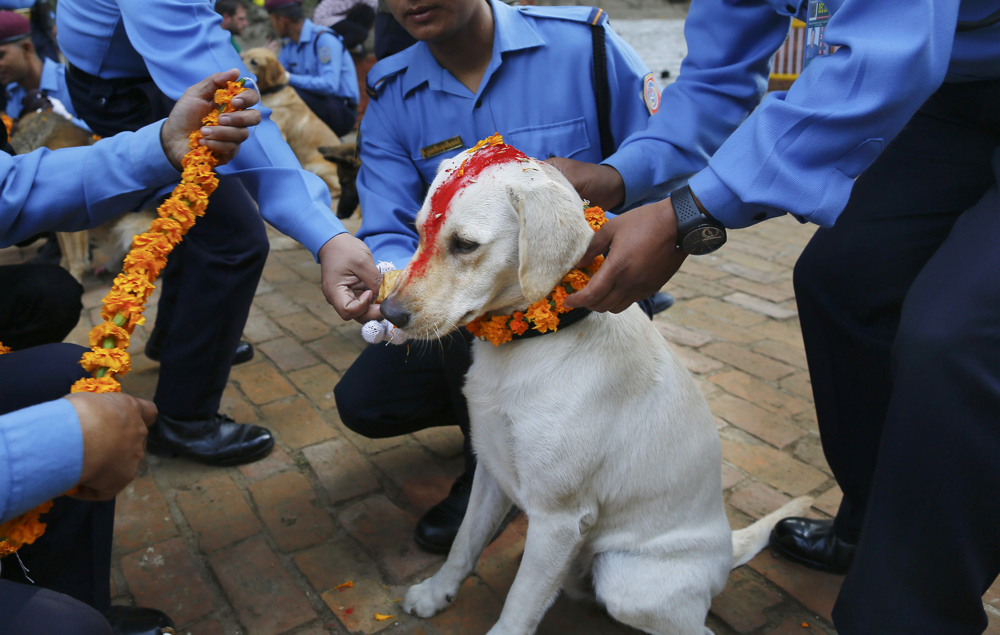Dog worship day in Nepal...epa05018765 A police officer sprinkles colored powder onto a police dog at Nepal's Central Police Dog Training School during a dog worship day as part of the Diwali festival, also known as Tihar Festival, in Kathmandu, Nepal, 10 November 2015. The Tihar festival is the second major festival for Nepalese Hindus and this year is held from 10 November 2015.  EPA/NARENDRA SHRESTHA