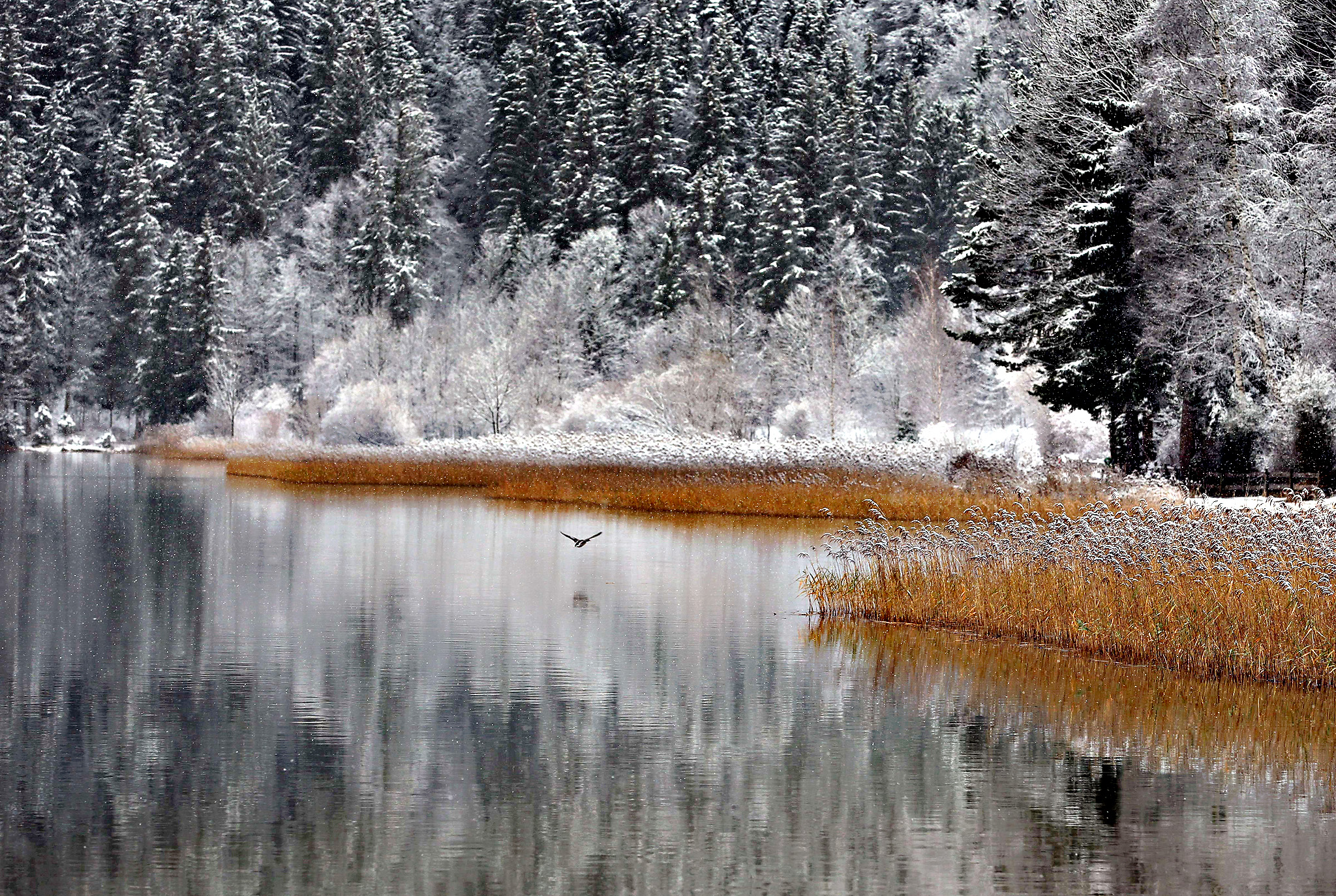 Snow-covered trees are mirrored in the water of the Weissensee lake near Fuessen, southern Germany, on Thursday.