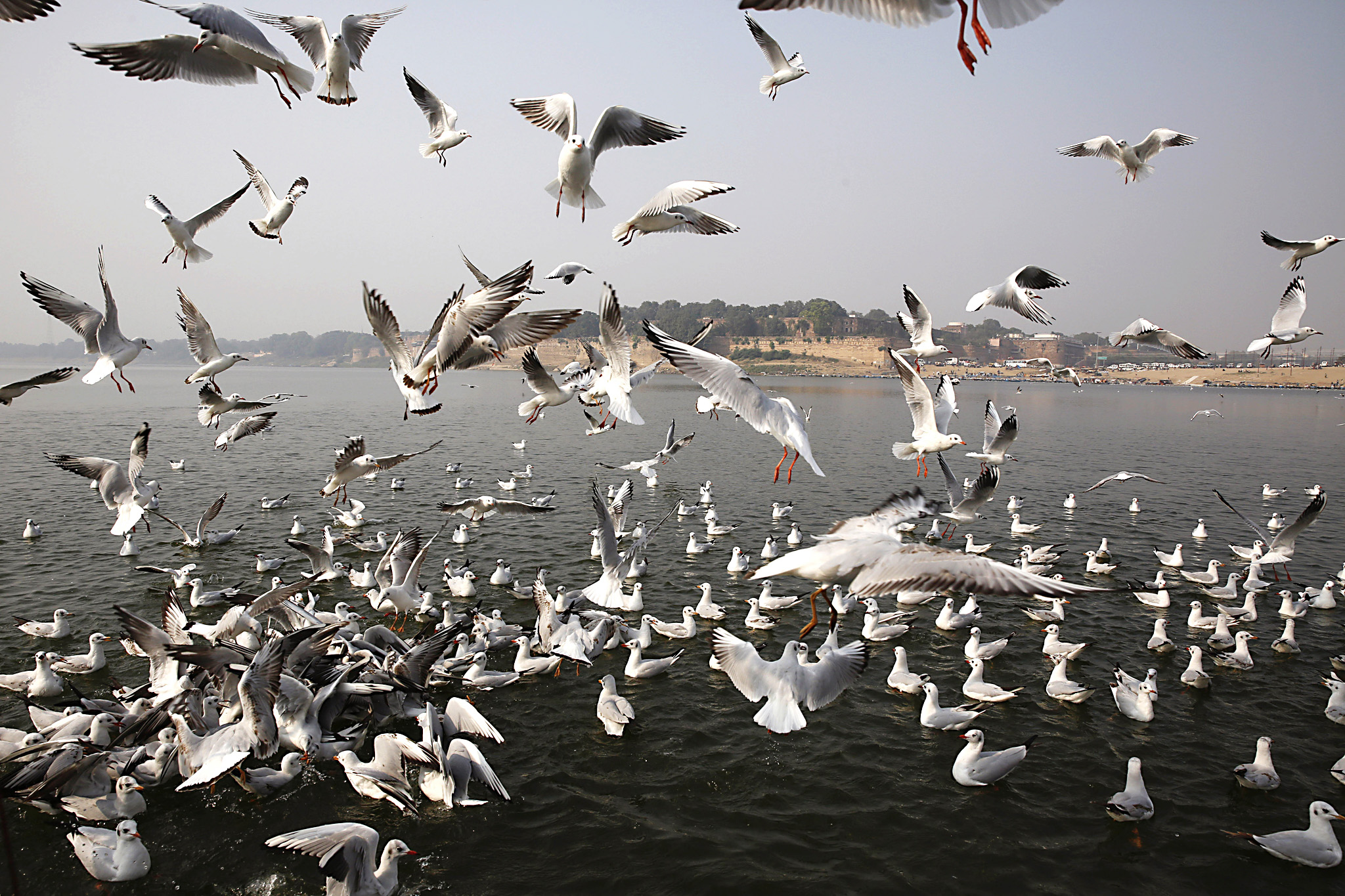 Siberian gulls hover over Sangam, the confluence of the Ganges and Yamuna Rivers, in Allahabad, India, on Thursday, Dec. 17, 2015. The gulls travel thousands of miles to India during the Siberian winter in October and return home in March. (AP Photo/Rajesh Kumar Singh)