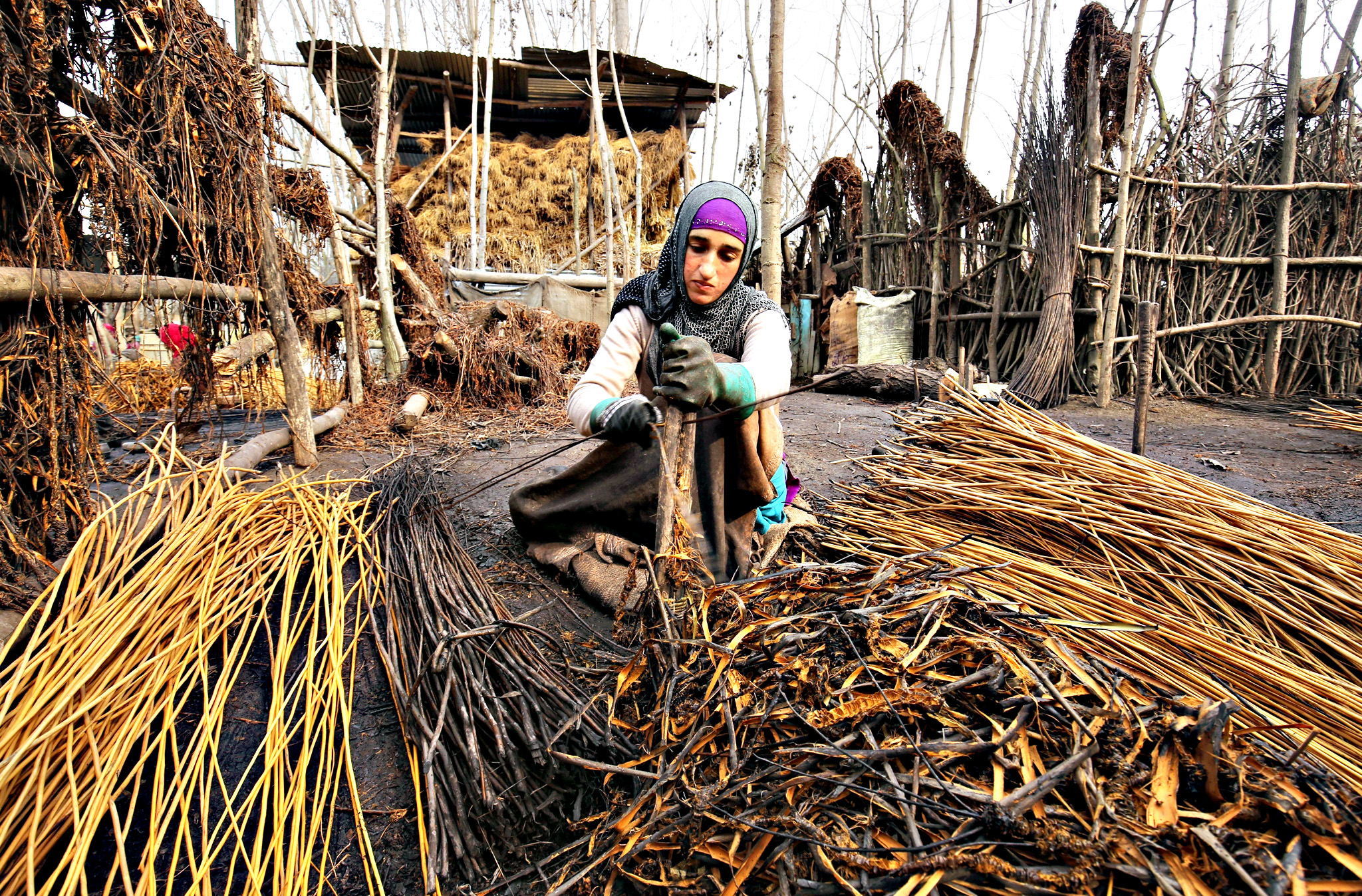 A Kashmiri Muslim woman peels off the bark of wicker sticks on the outskirts of Srinagar, the summer capital of Indian Kashmir, 22 December 2015. Wicker sticks are used to make Kangir, the traditional Kashmiri firepot, which is used to keep warm during cold winters. Hundreds of families in Kashmir depend on the trade with Kangir, with Kangir artisans of different regions making distinct and fashionable firepots.