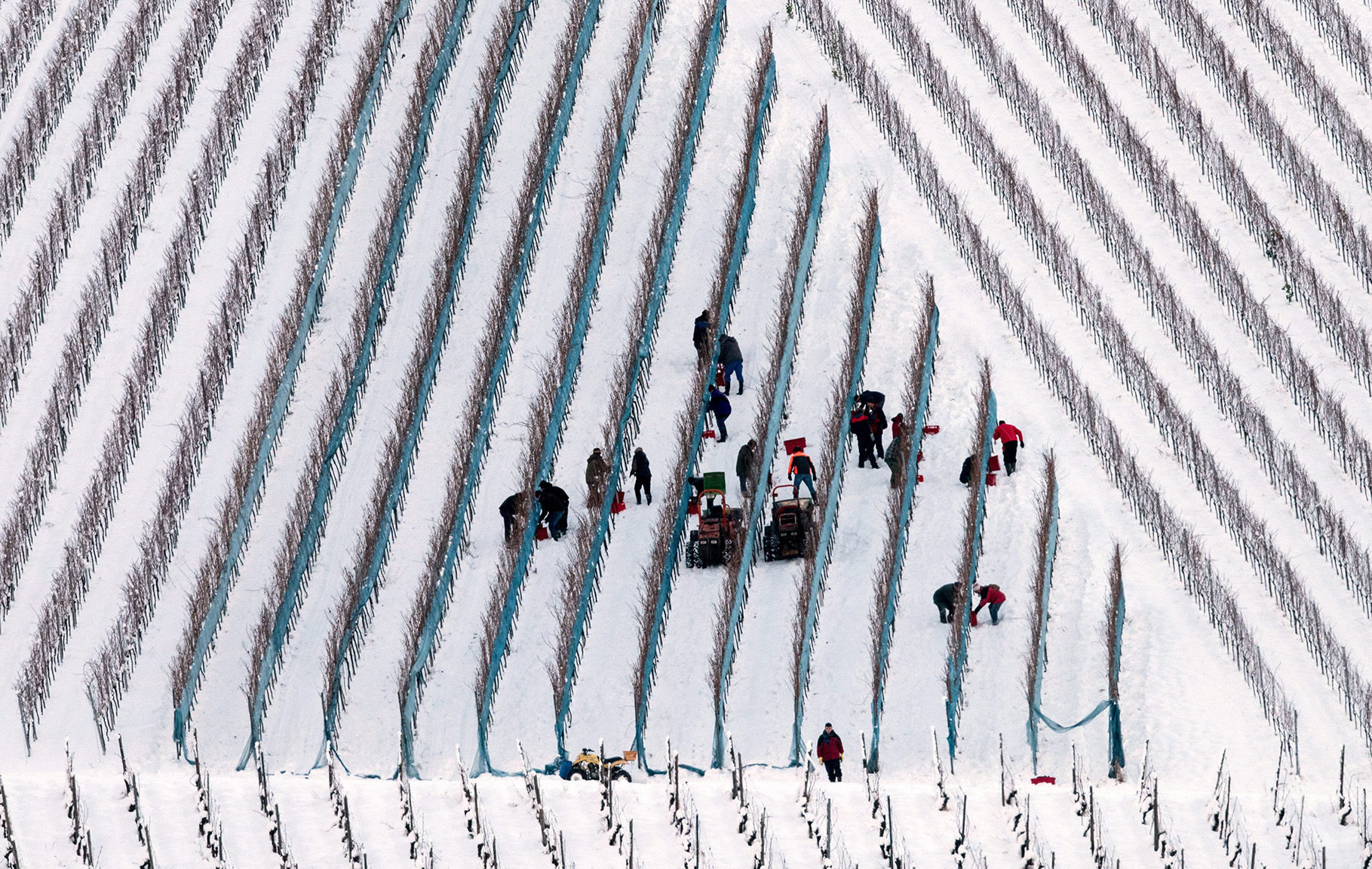 Grape harvest for ice wine in Glottertal