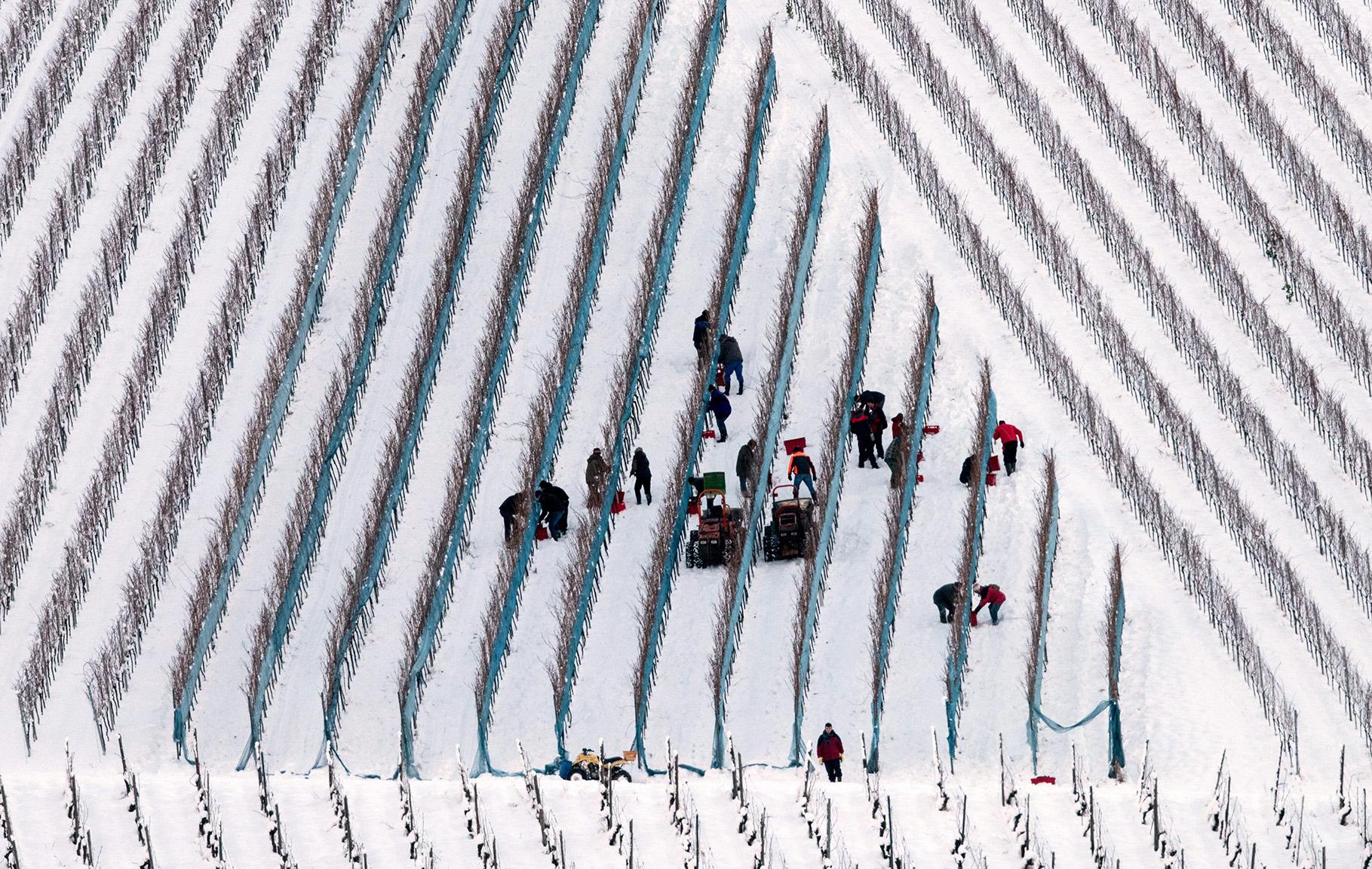 Grape harvest for ice wine in Glottertal