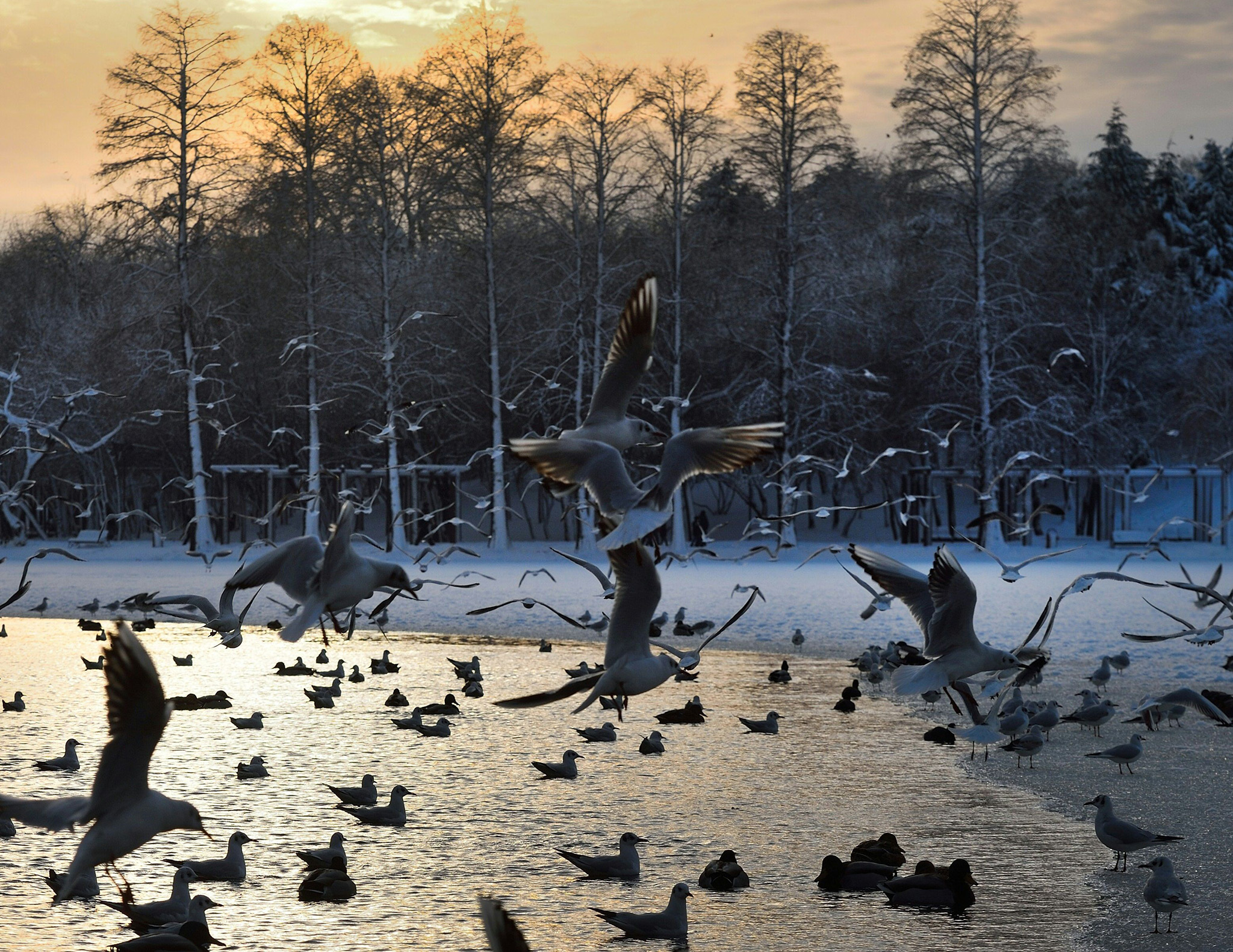 Water birds fly over a partially frozen lake in a park in Bucharest, Romania