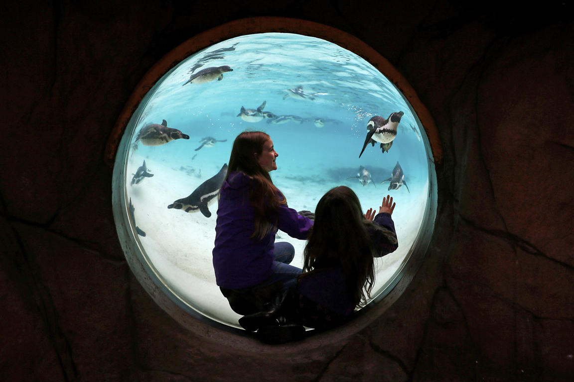 Children look at Humboldt penguins swim in their pool during the stock take at London Zoo in London, Britain January 4, 2016