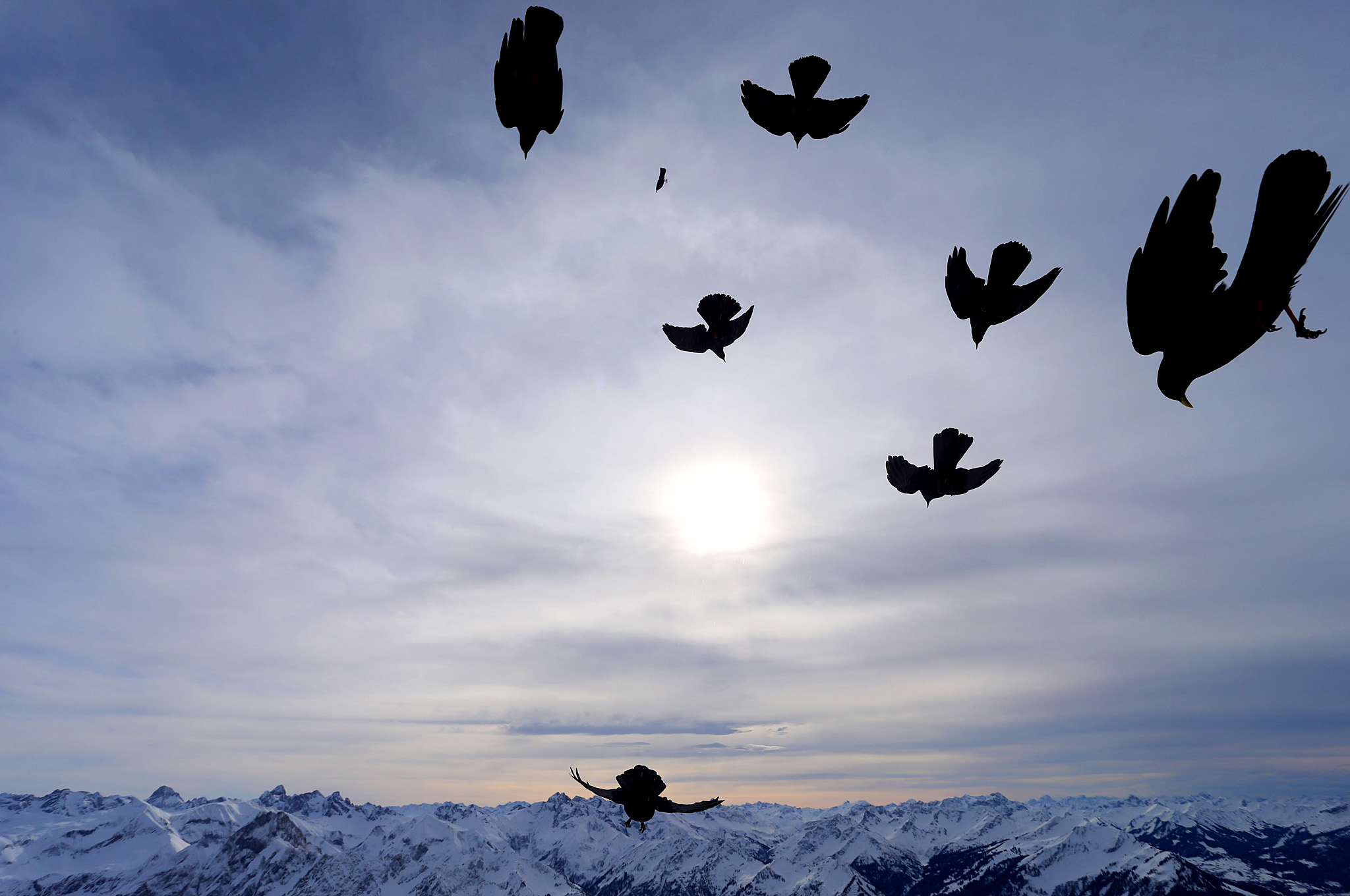 Alpine choughs start from the summit of ...Alpine choughs start from the summit of the 2,224 meters high Nebelhorn mountain near Oberstdorf, southern Germany, towards a snow-covered Alpine panorama, on February 9, 2016. / AFP / dpa / Karl-Josef Hildenbrand / Germany OUTKARL-JOSEF HILDENBRAND/AFP/Getty Images