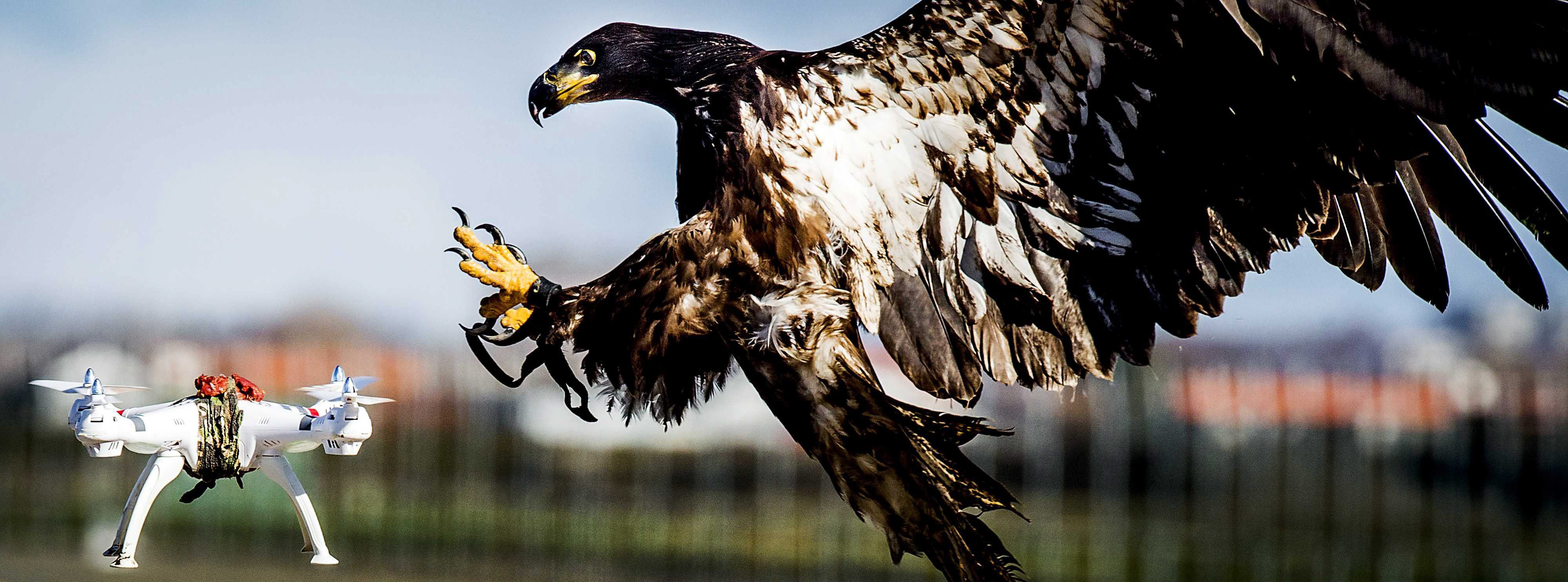Dutch company trains birds of prey to catch drones...epa05199531 A trained eagle of the company 'Guard from Above' grabs a hovering drone during a exercise of the Dutch police in Katwijk, The Netherlands, 07 March 2016. The bird of prey can get drones from the air by catching them with his claws. Media reports state that various polices, including London's Metropolitan Police, are taking into consideration the idea that the birds could be deployed against what was described as 'hostile drones'.  EPA/KOEN VAN WEEL