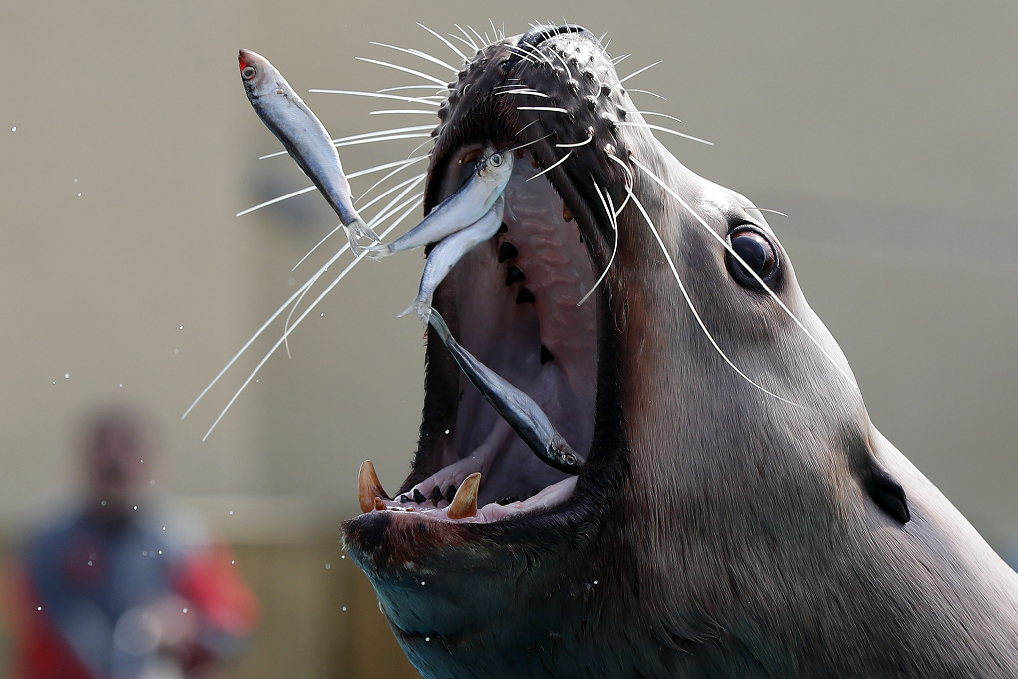 A sea lion catches sardines in the Marineland theme park on the French riviera city of Antibes, southeastern France