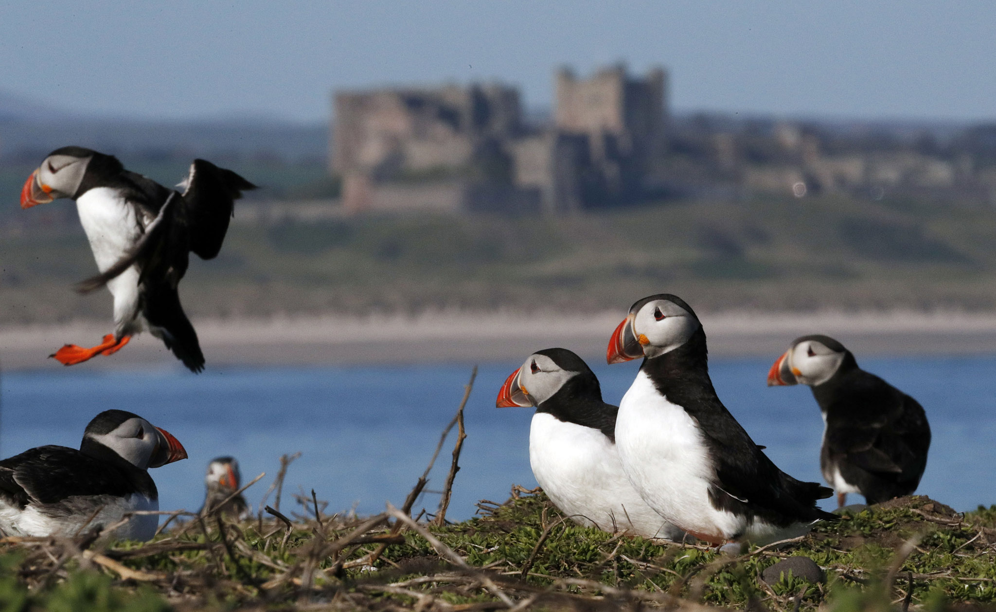 Birds on Farne Islands...Puffins join Shags and Guillemot birds  on the Farne Islands just off the Northumberland coast for the start of the breading season. PRESS ASSOCIATION Photo. Picture date: Wednesday April 20, 2016. Rangers on one of Britain's most important seabird colonies are hoping for a more successful summer after flooding wreaked havoc last year. See PA story NATURE Puffins. Photo credit should read: Owen Humphreys/PA Wire