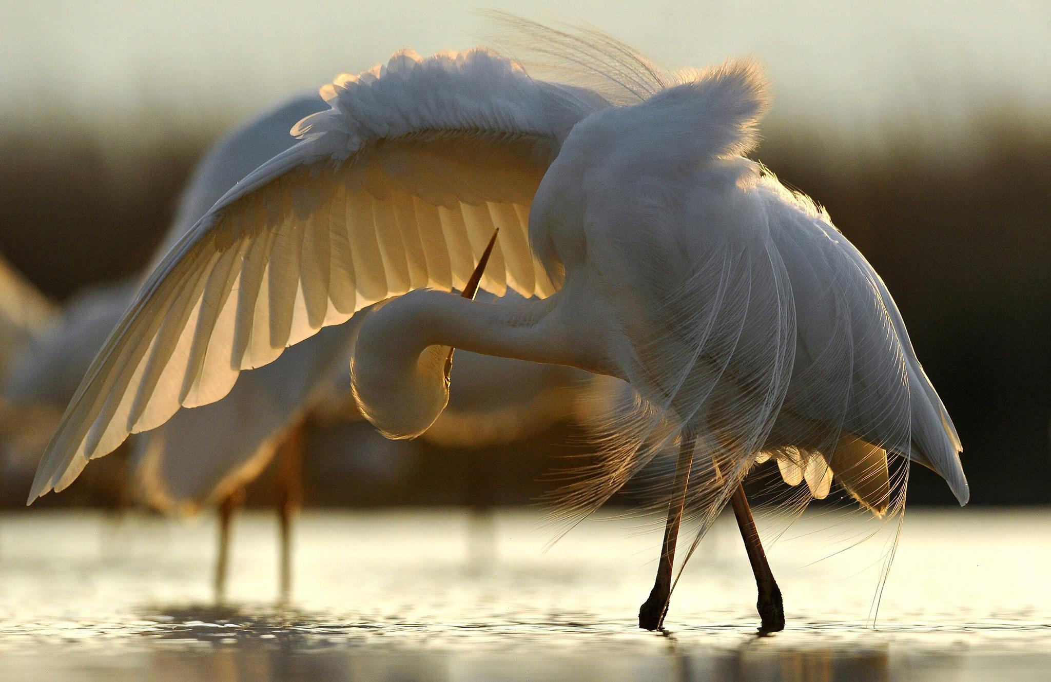A grey egret preens itself near Pusztaszer, southeast of Budapest, Hungary