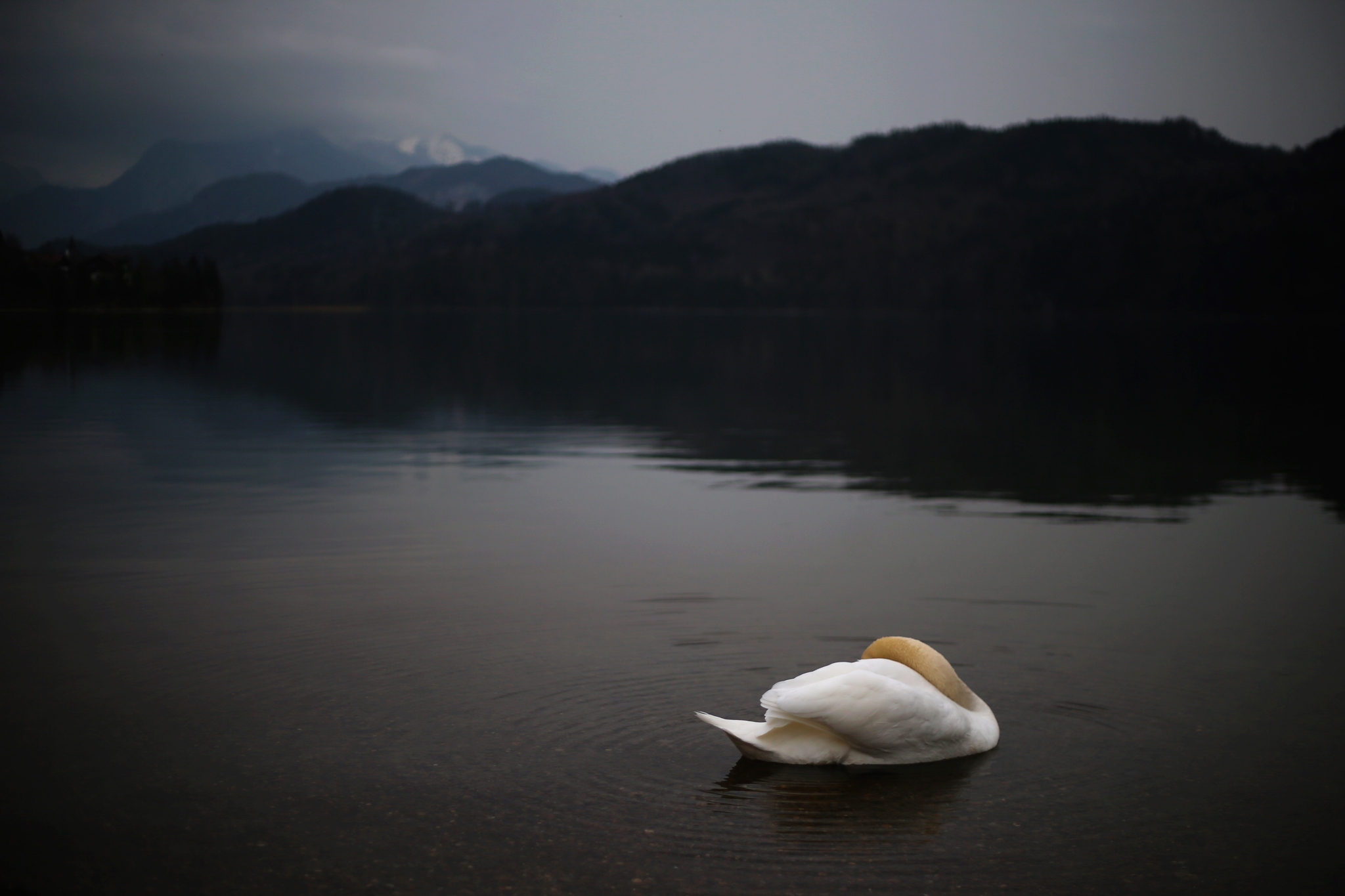 In this picture taken Tuesday evening, April 5, 2016, a swan floats on lake Weissensee near Fuessen, southern Germany. (Karl-Josef Hildenbrand/dpa via AP)