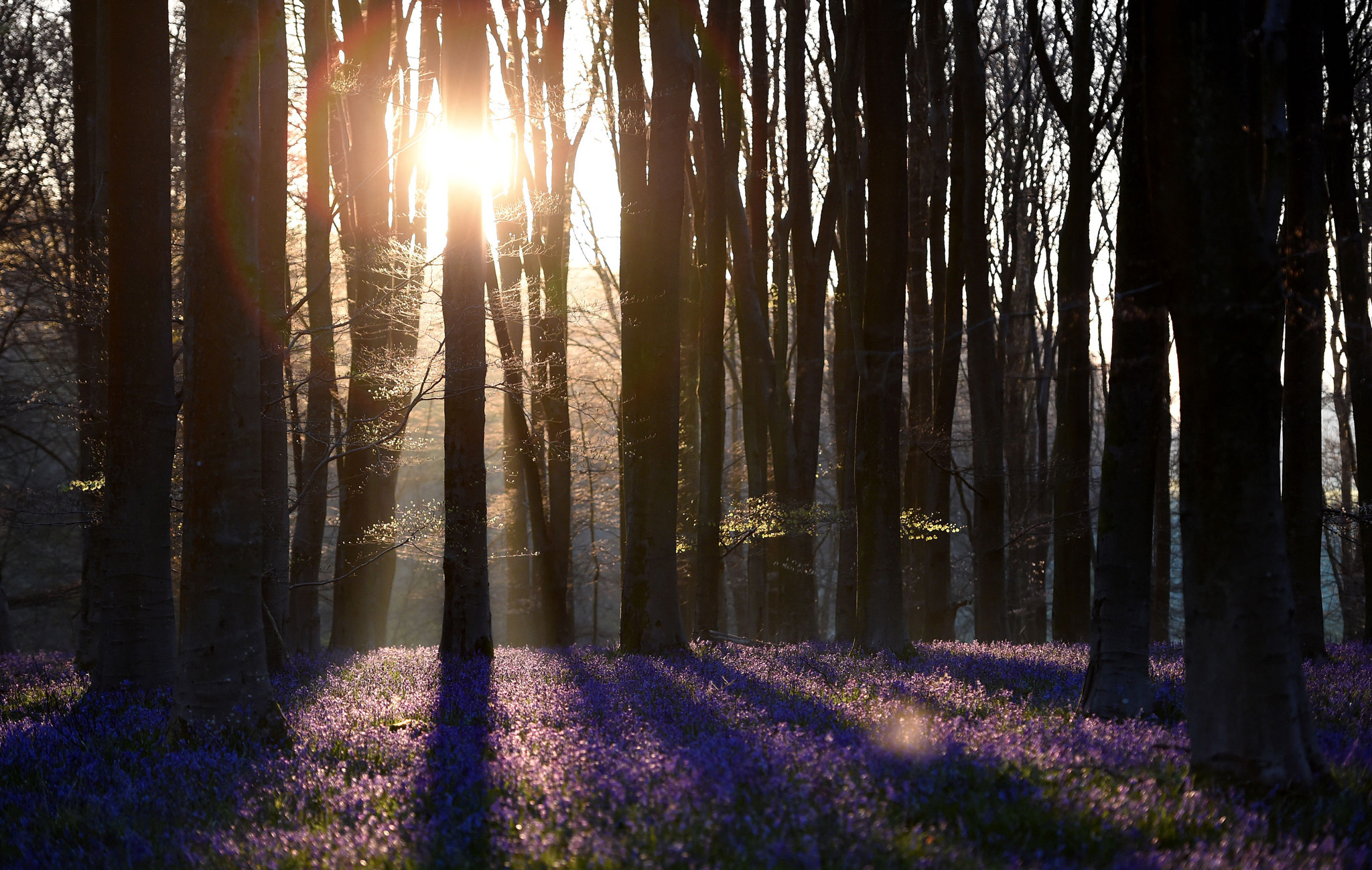 Bluebells are lit by the rising sun in Micheldever Wood in Hampshire.
