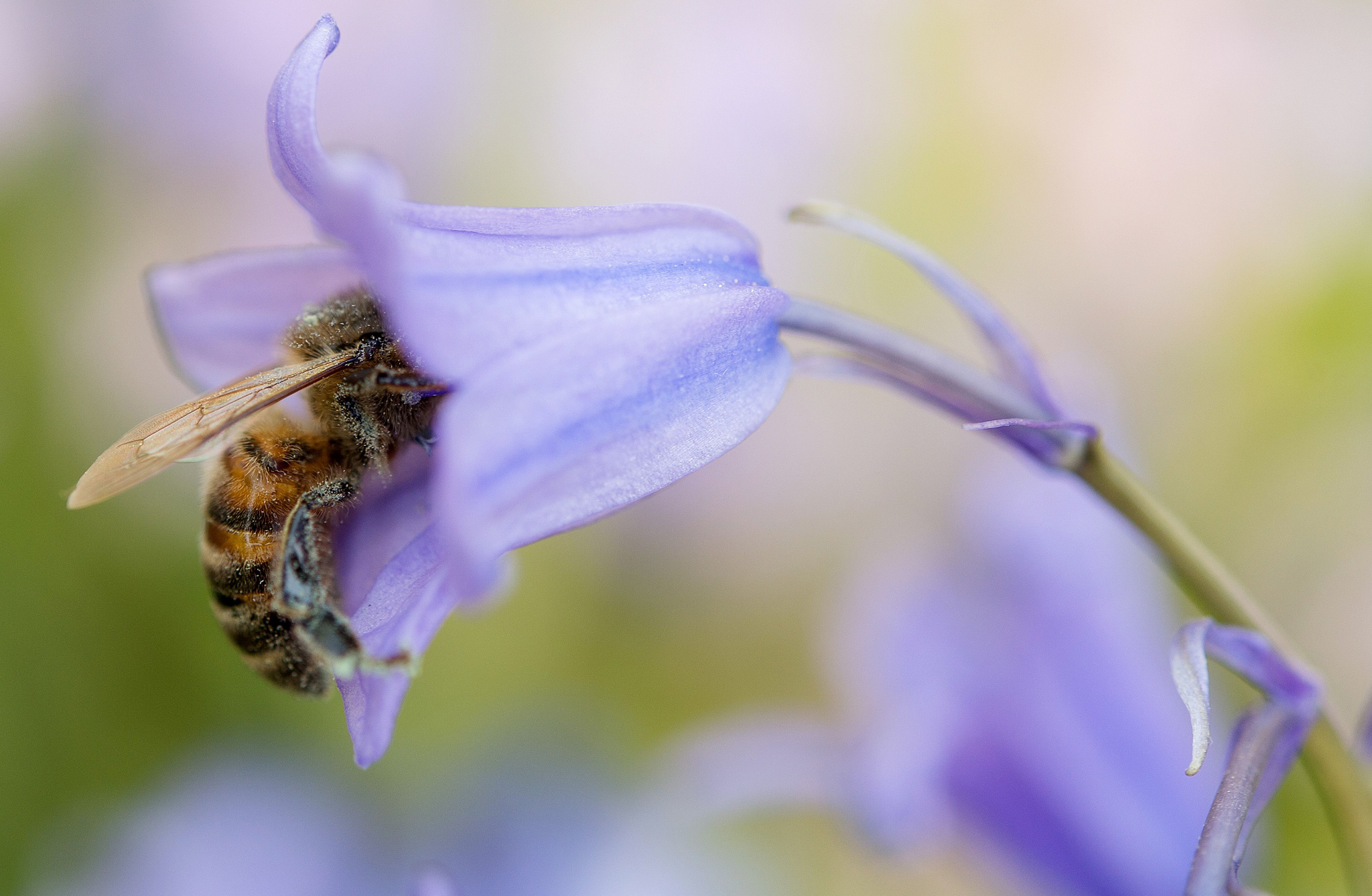 A bee collects pollen from a bluebell fl...A bee collects pollen from a bluebell flower at the Herrenhaeuser Gaerten park in Hanover, central Germany, on May 9, 2016. / AFP PHOTO / dpa / Sebastian Gollnow / Germany OUTSEBASTIAN GOLLNOW/AFP/Getty Images