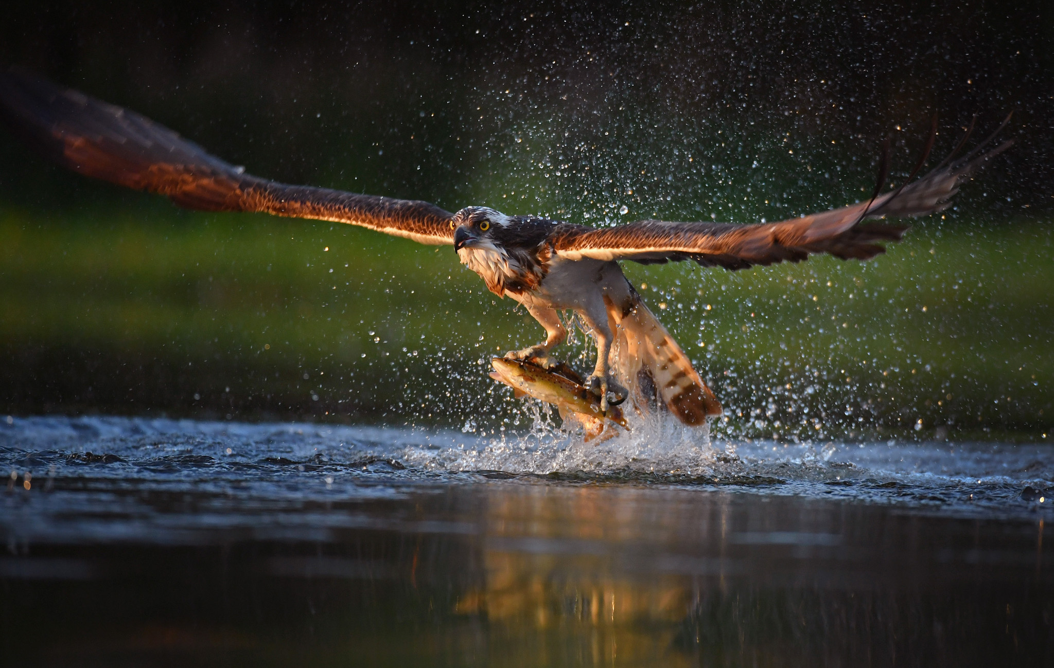 AVIEMORE, SCOTLAND - JUNE 07:  An Osprey catches two Rainbow Trout at Rothiemurchus on June 6, 2016 in Kincraig, Scotland. Ospreys migrate each spring from Africa and nest in tall pine trees around the Aviemore area, the raptor was hunted to the point of extinction in the Victorian era, their migratory habits eventually brought them back to Scotland with the first successful breeding pair being recorded in 1954.  (Photo by Jeff J Mitchell/Getty Images)