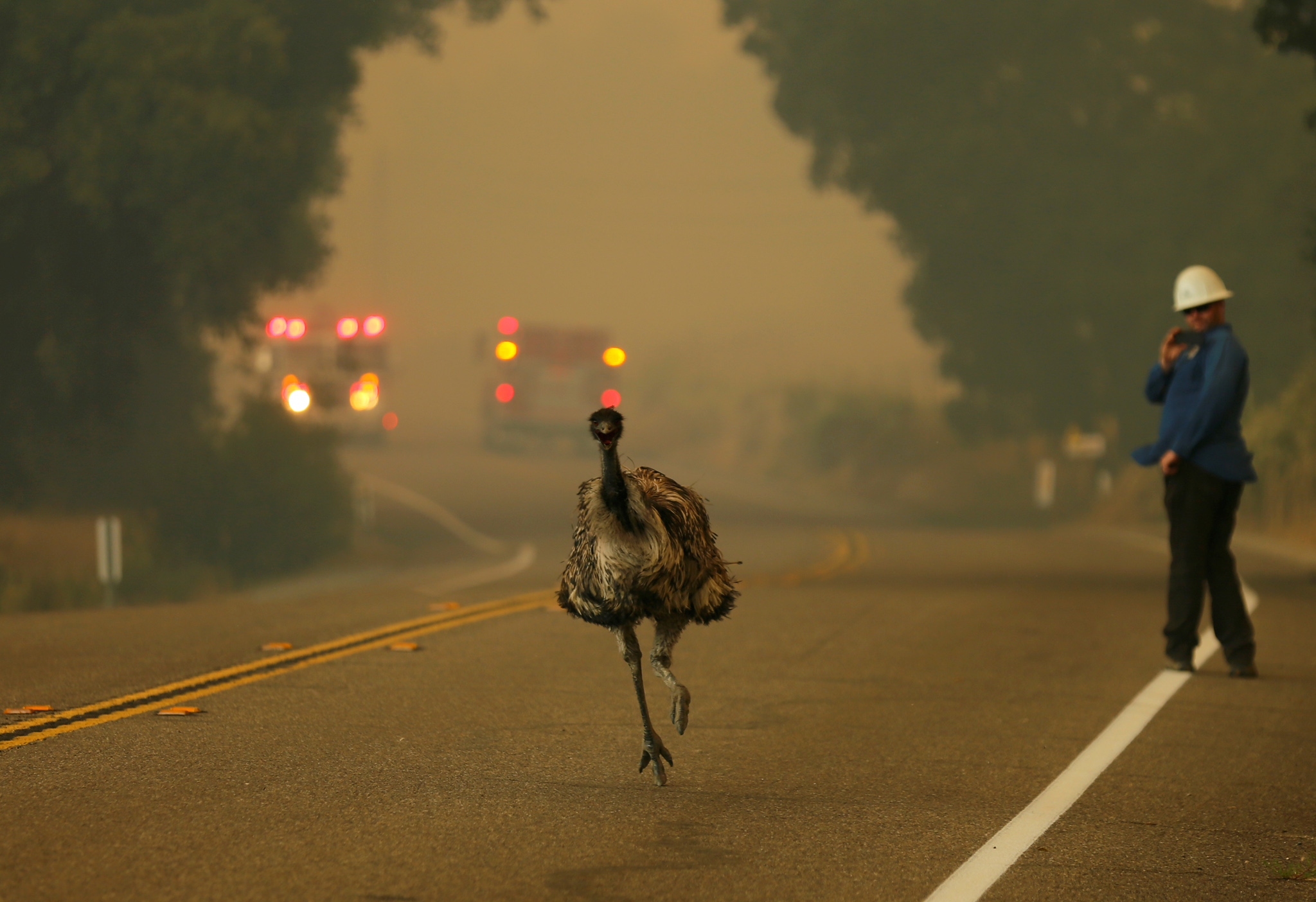 An emu runs to escape an approaching wildfire as it burns near Potrero, California, U.S. June 20, 2016.        REUTERS/Mike Blake - RTX2H8ZI
