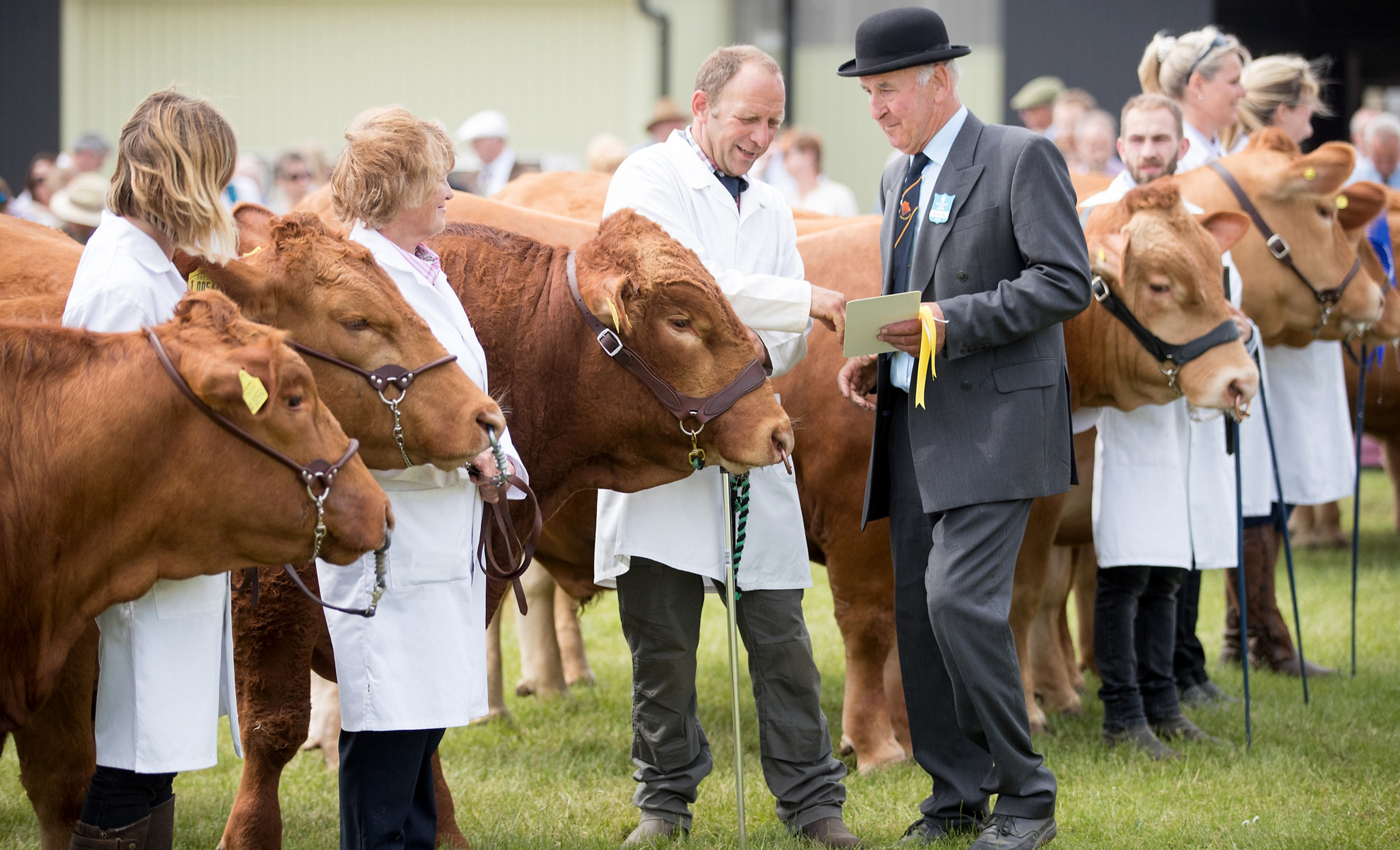 JUNE 09:  South Devon cattle are judged in the show ring on the first day of the Royal Cornwall Show near Wadebridge on June 9, 2016 in Cornwall, England. More than 100,000 visitors are expected at this year's show, which runs until Saturday, and is claimed to be the