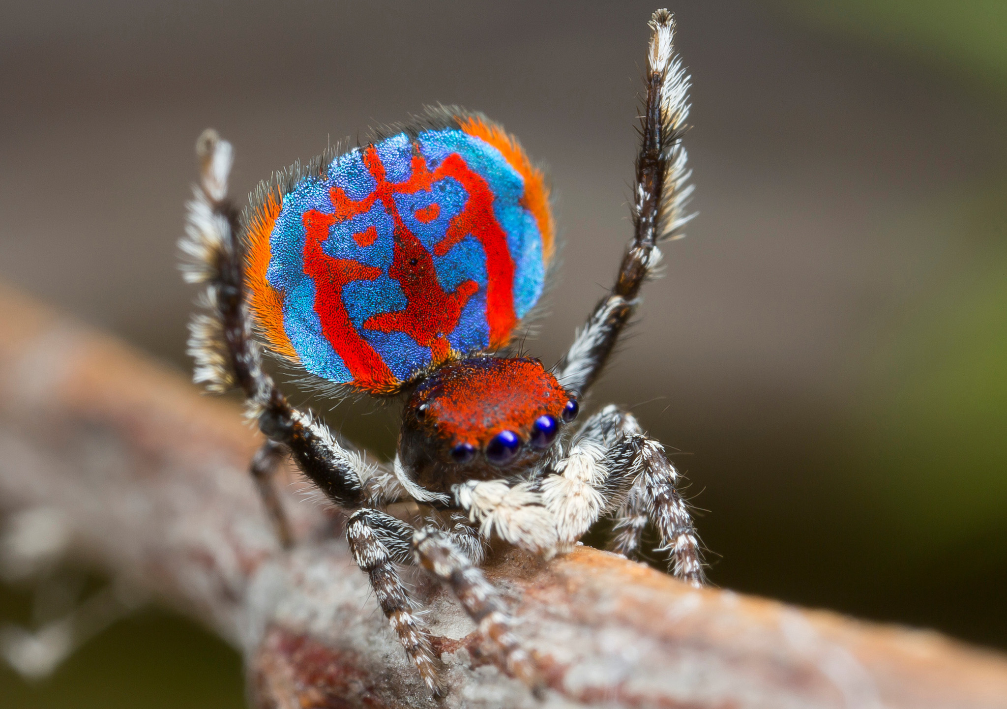 A specimen of the newly-discovered Australian Peacock spider, Maratus Bubo, shows off his colourful abdomen in this undated picture from Australia.