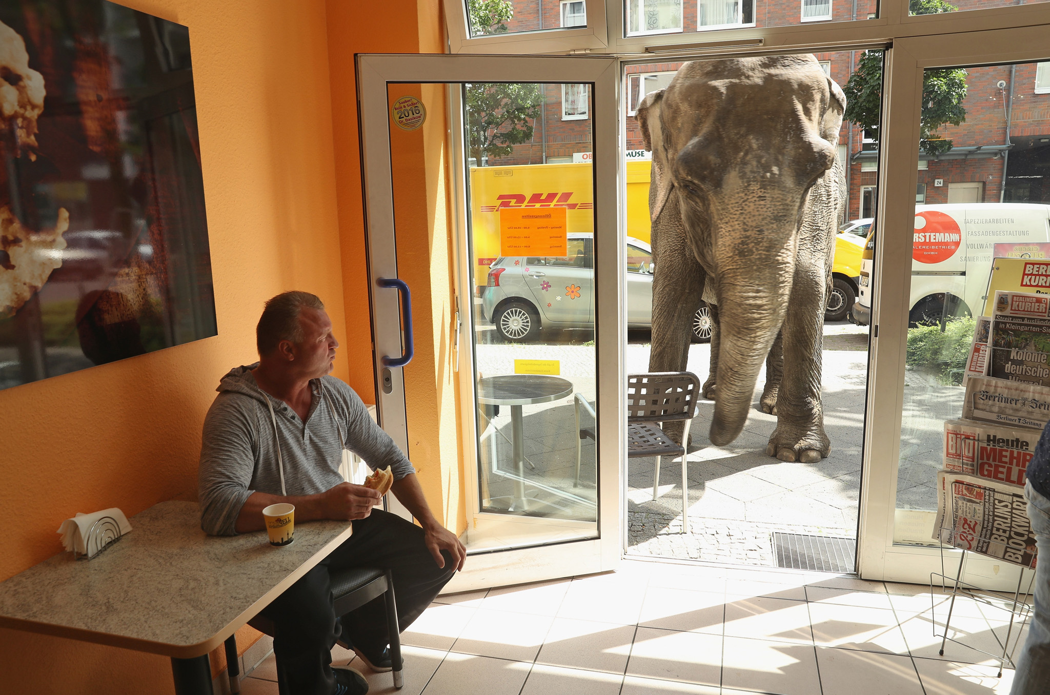 BERLIN, GERMANY - JULY 01:  Maja, a 40-year-old elephant, peeks into a bakery while one of her minders eats a sandwich during a stroll through the neighborhood with her minders from a nearby circus on July 1, 2016 in Berlin, Germany. Maja performs daily at Circus Busch and circus workers take her on walks among the nearby apartment buildings to vacant lots where she likes to eat the grass. City authorities sanction the outings and federal regulations reportedly encourage activities for elephants to stimulate the animals' cognitive awareness.  (Photo by Sean Gallup/Getty Images)